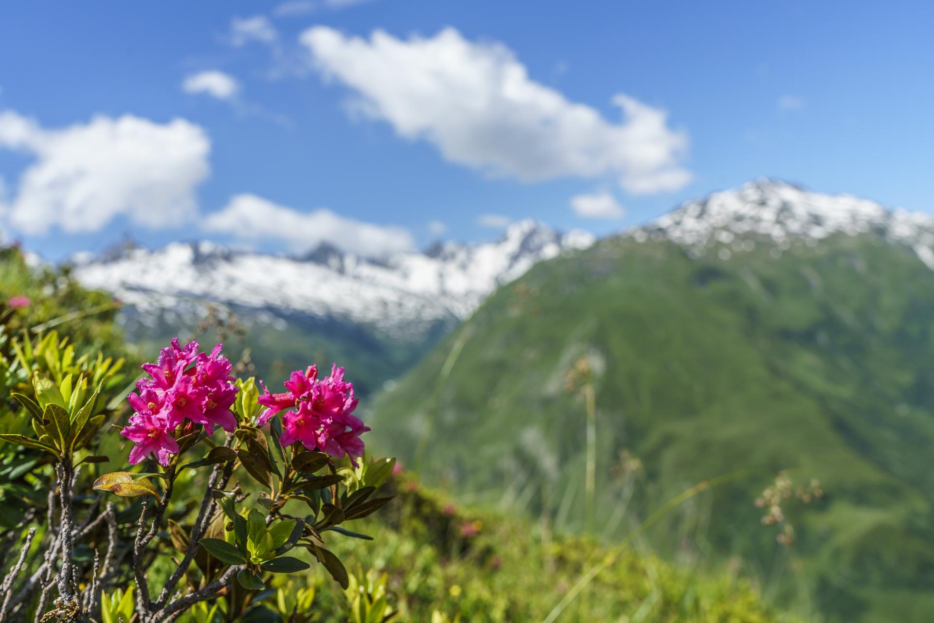 Alpenrosen-Gotthard