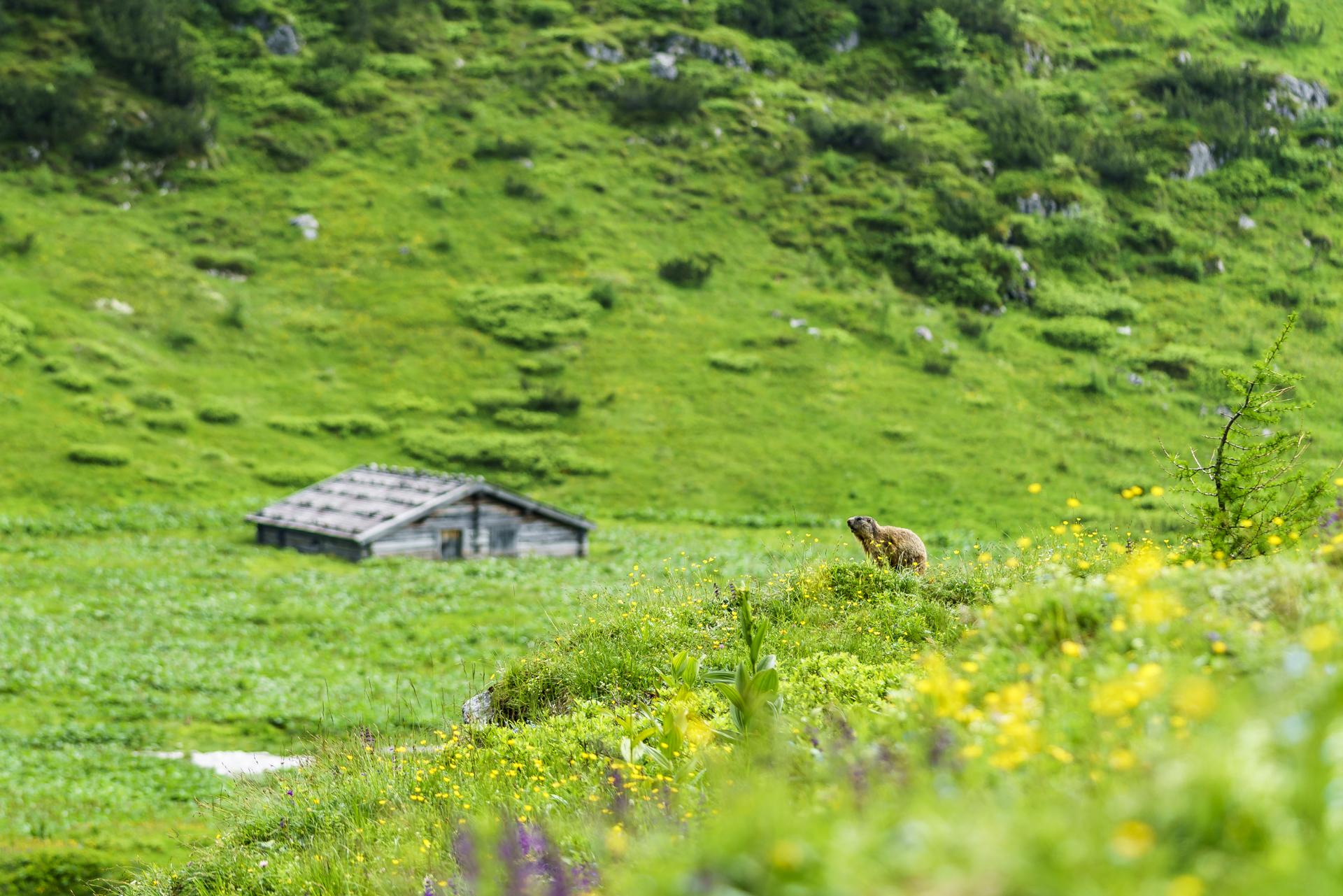 Murmeltier-Nationalpark-Berchtestaden