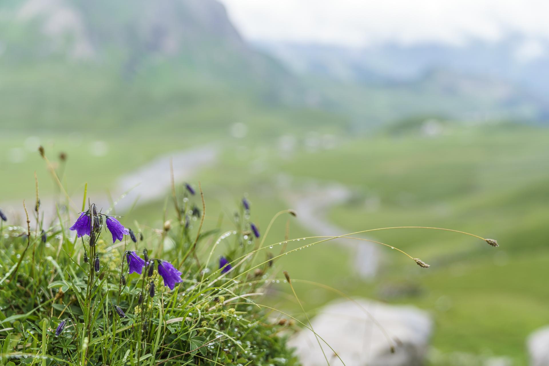 Bergblumen-Engstligenalp