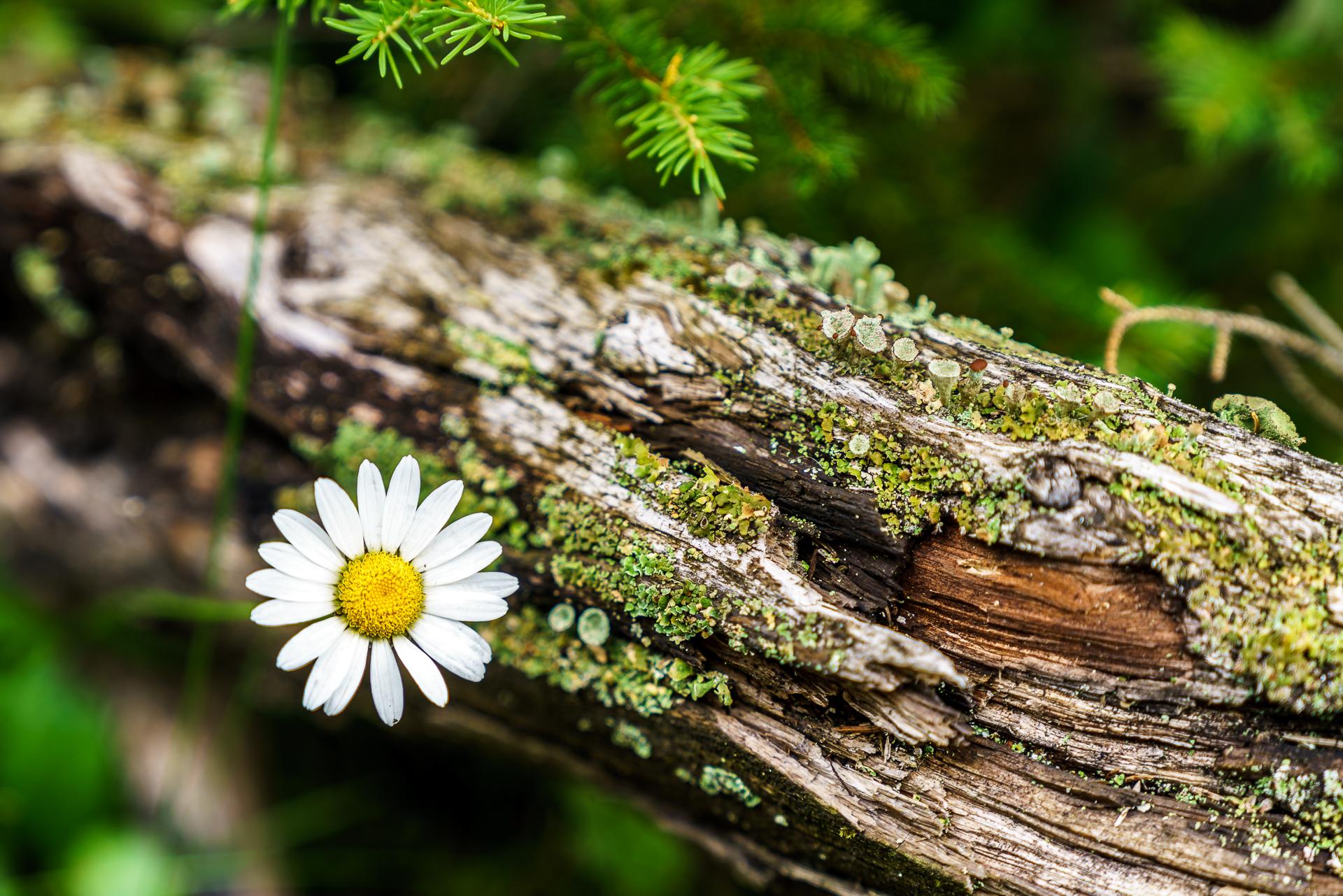 Detailaufnahme-Alpenblume