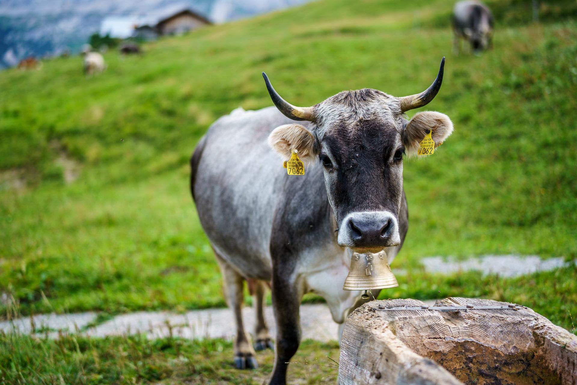 Alp-Vordere-Walig-Gstaad