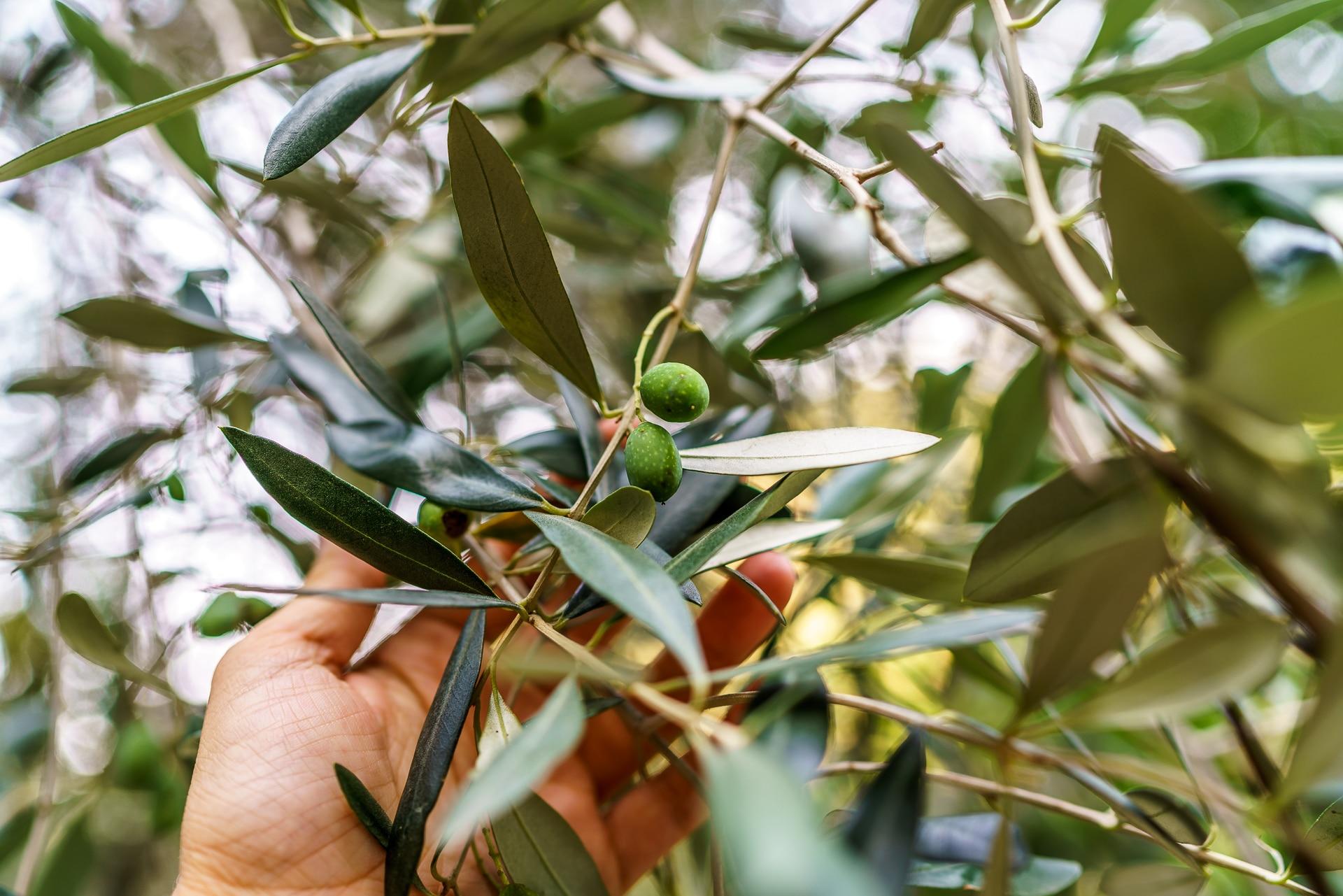 oliven-agriturismo-l-adagio