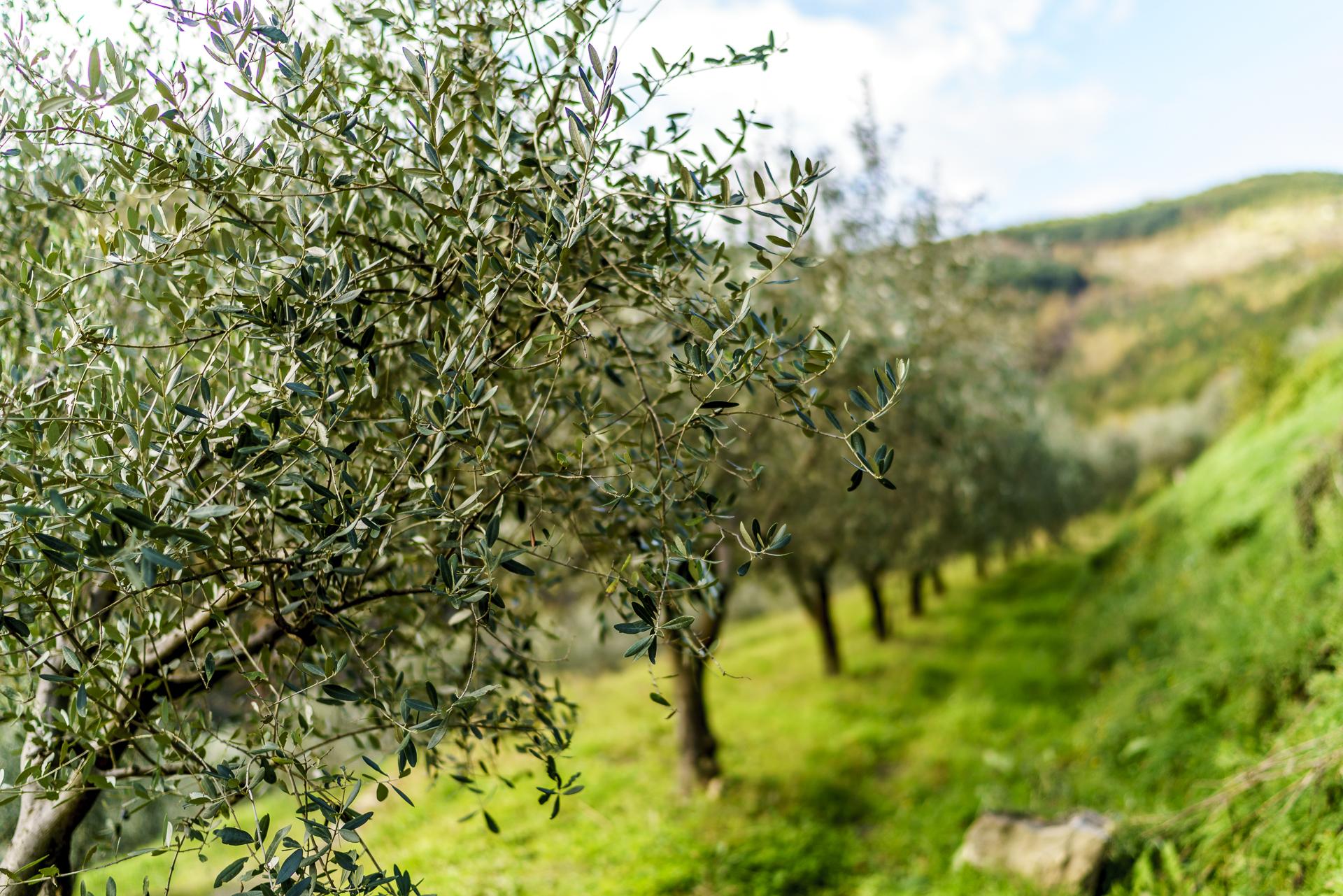 ipsa-olivenoel-spitzenklasse