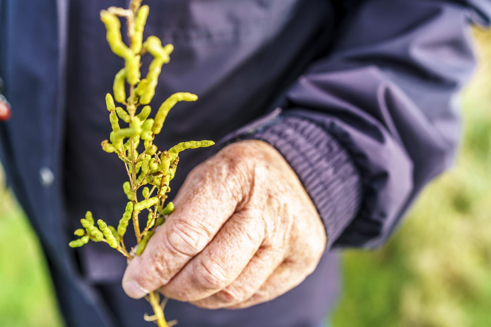 queller-wattenmeerpflanze