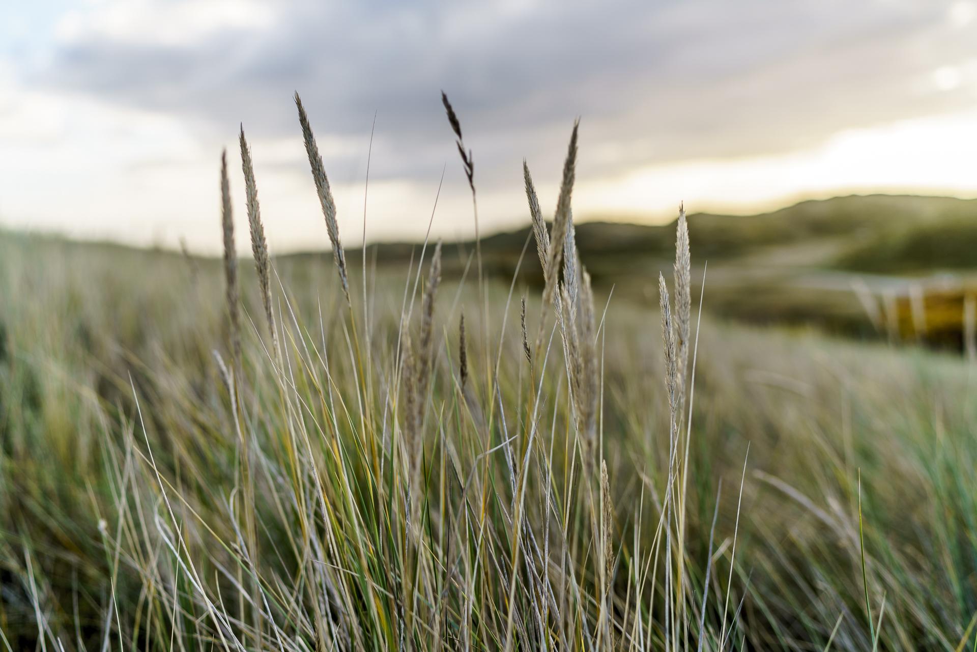 strandhafer-ostfriesland