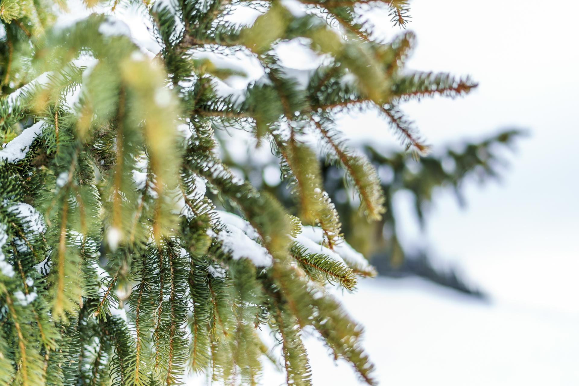 Winterdetail Tanne