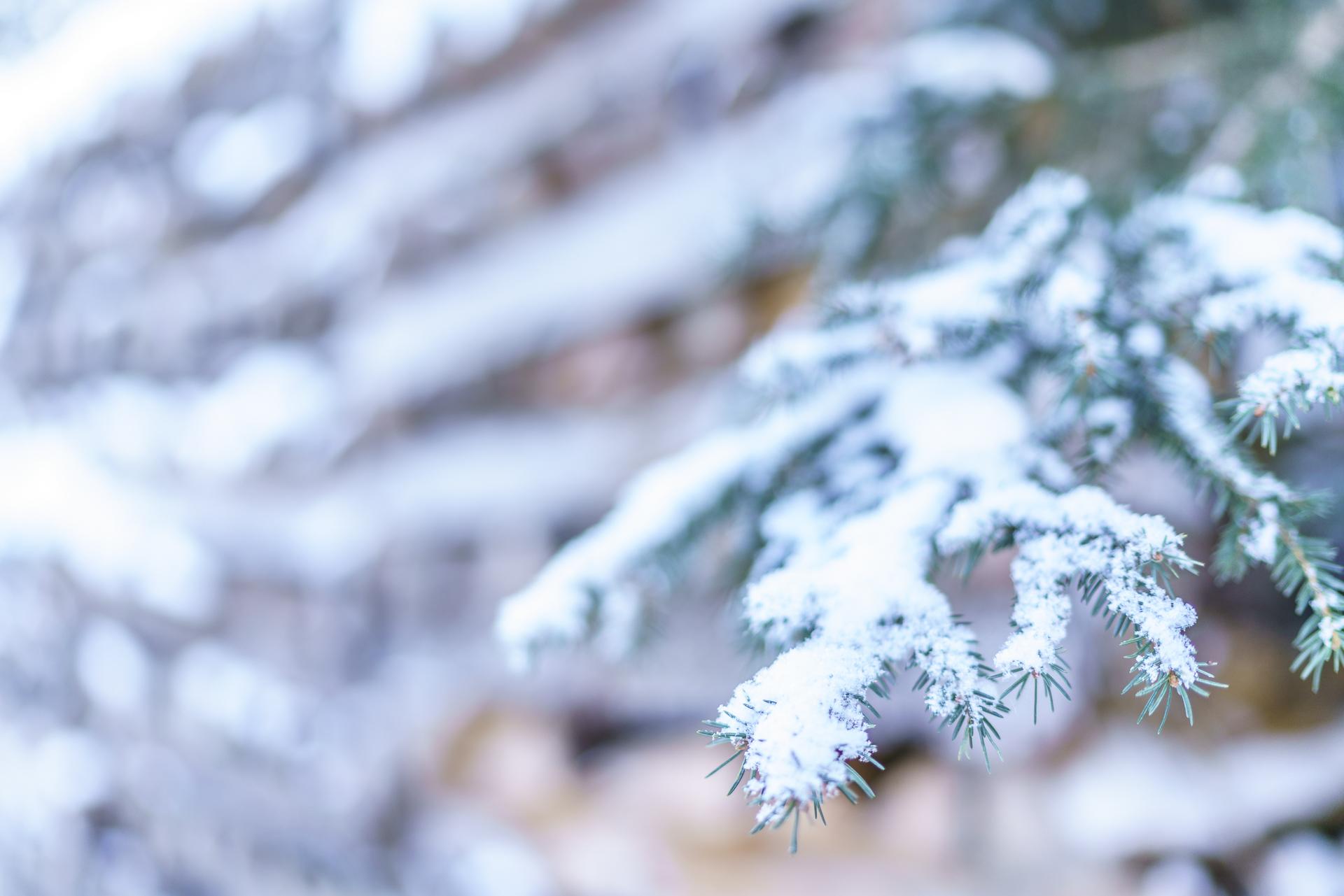 Tanne mit Schnee Makro