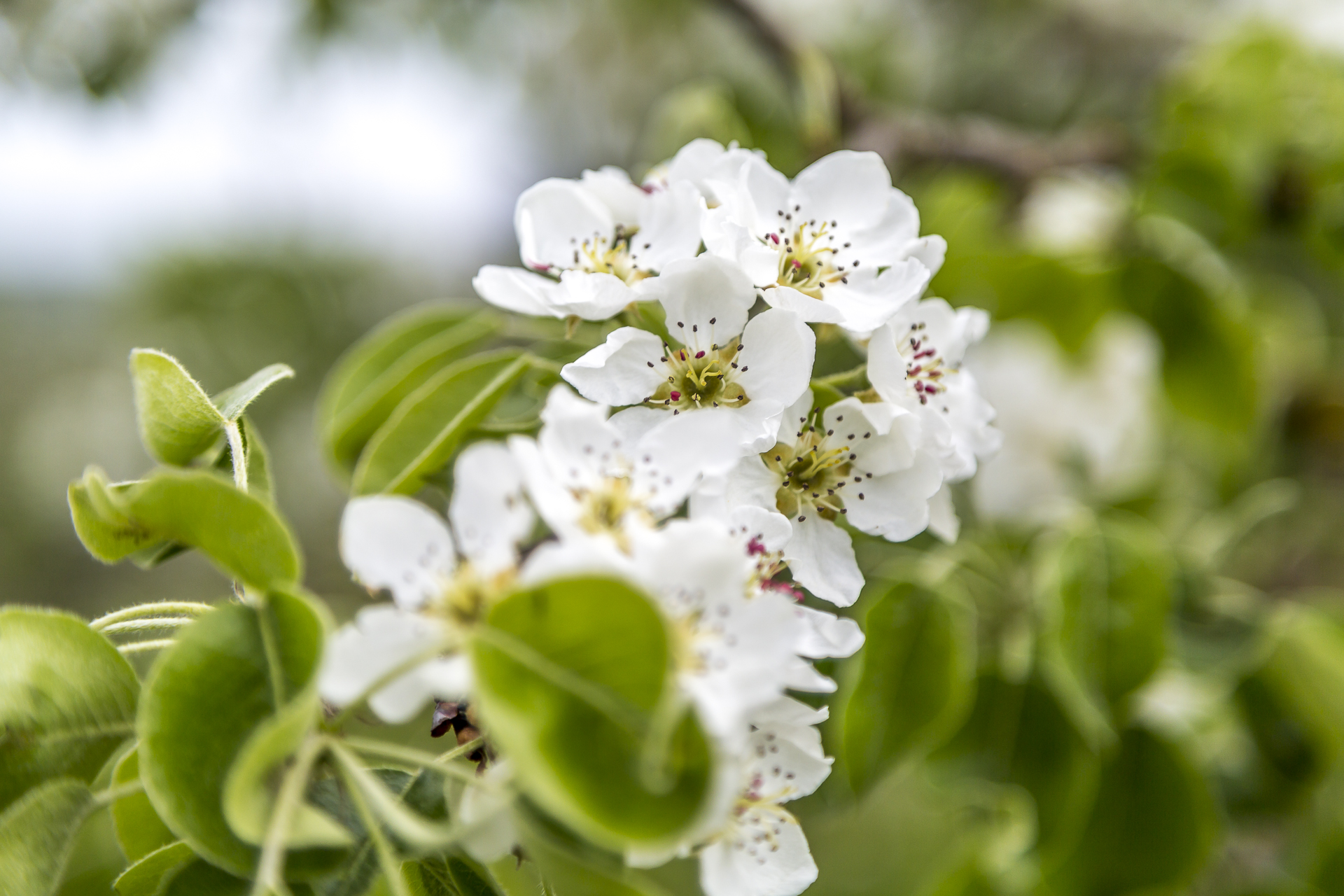 Apfelblüte Thurgau