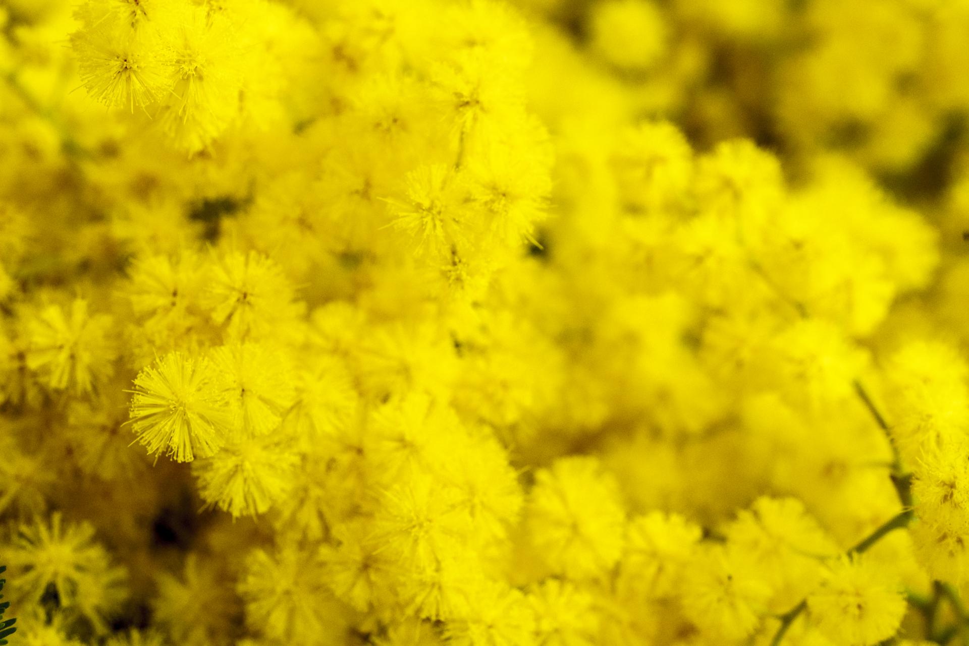 Mimosa Detailaufnahme