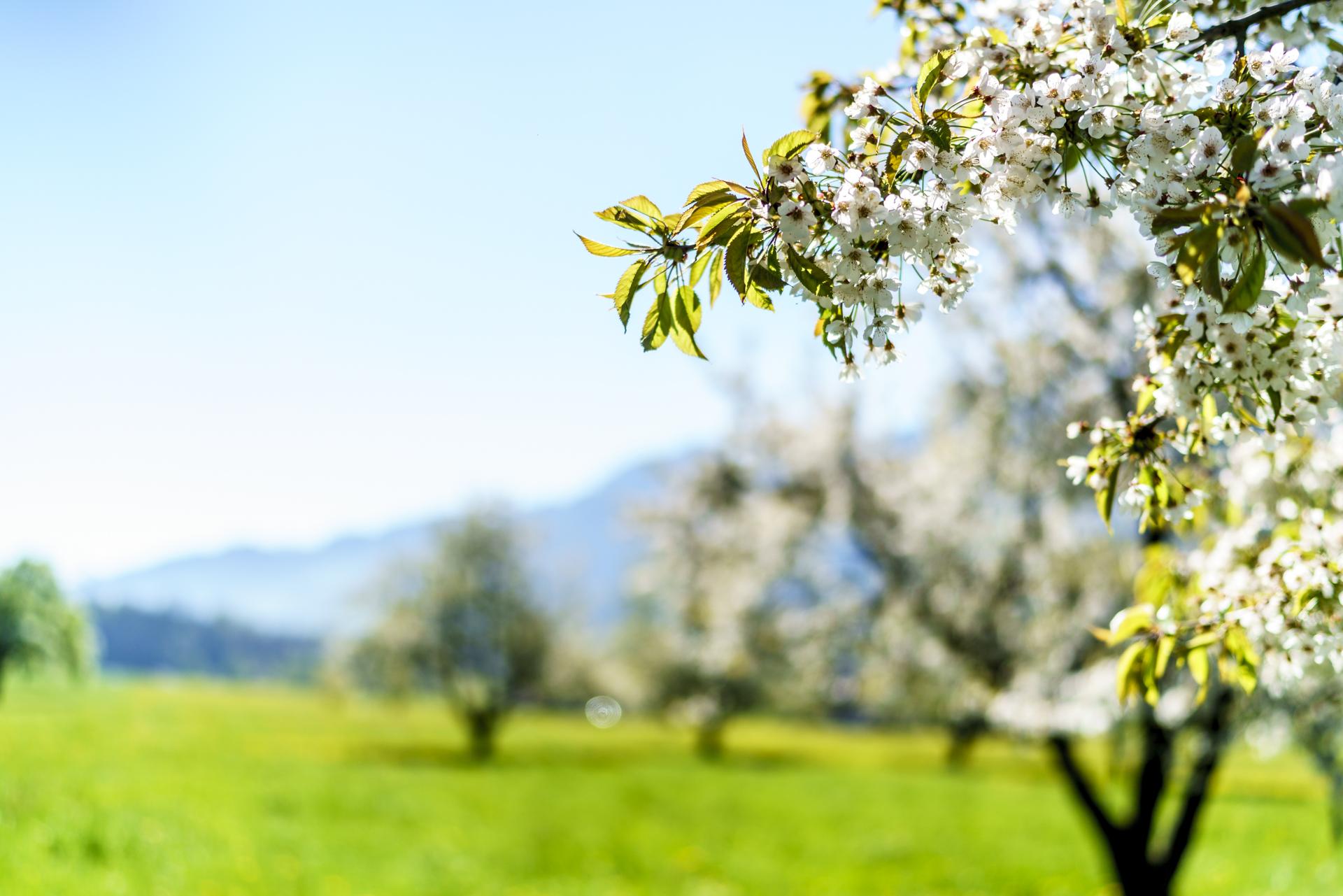 Arther Kirschgarten Blüte