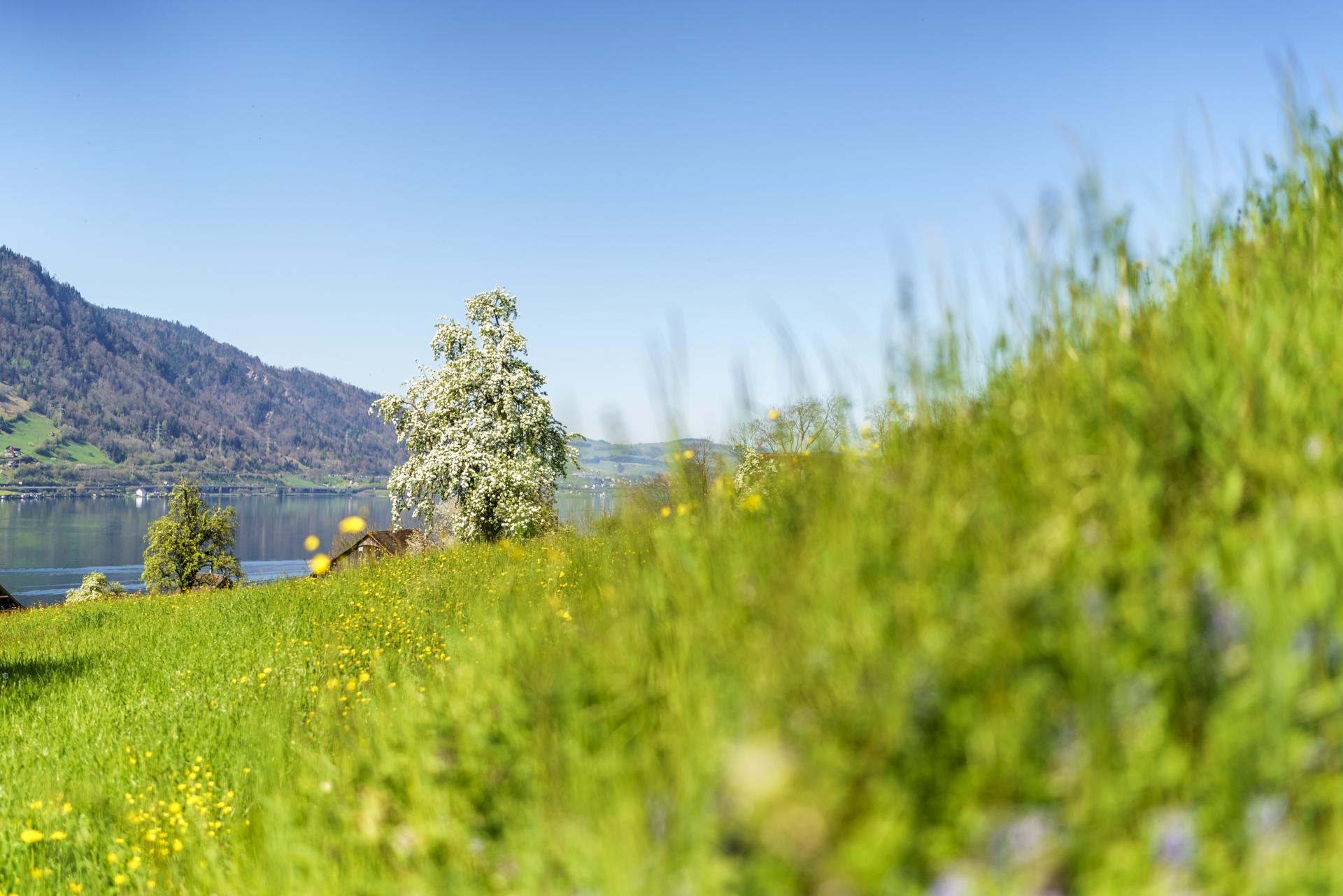 Birnenbaum in Blüte