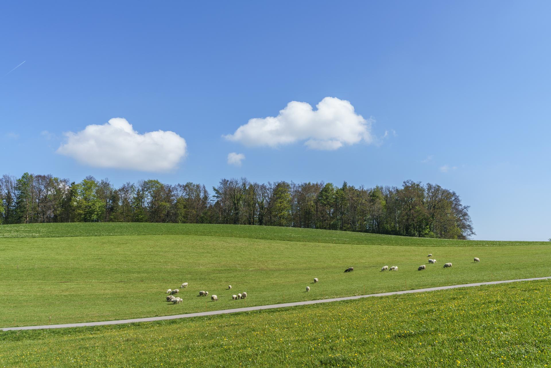 Schafe mit Schäfchenwolken