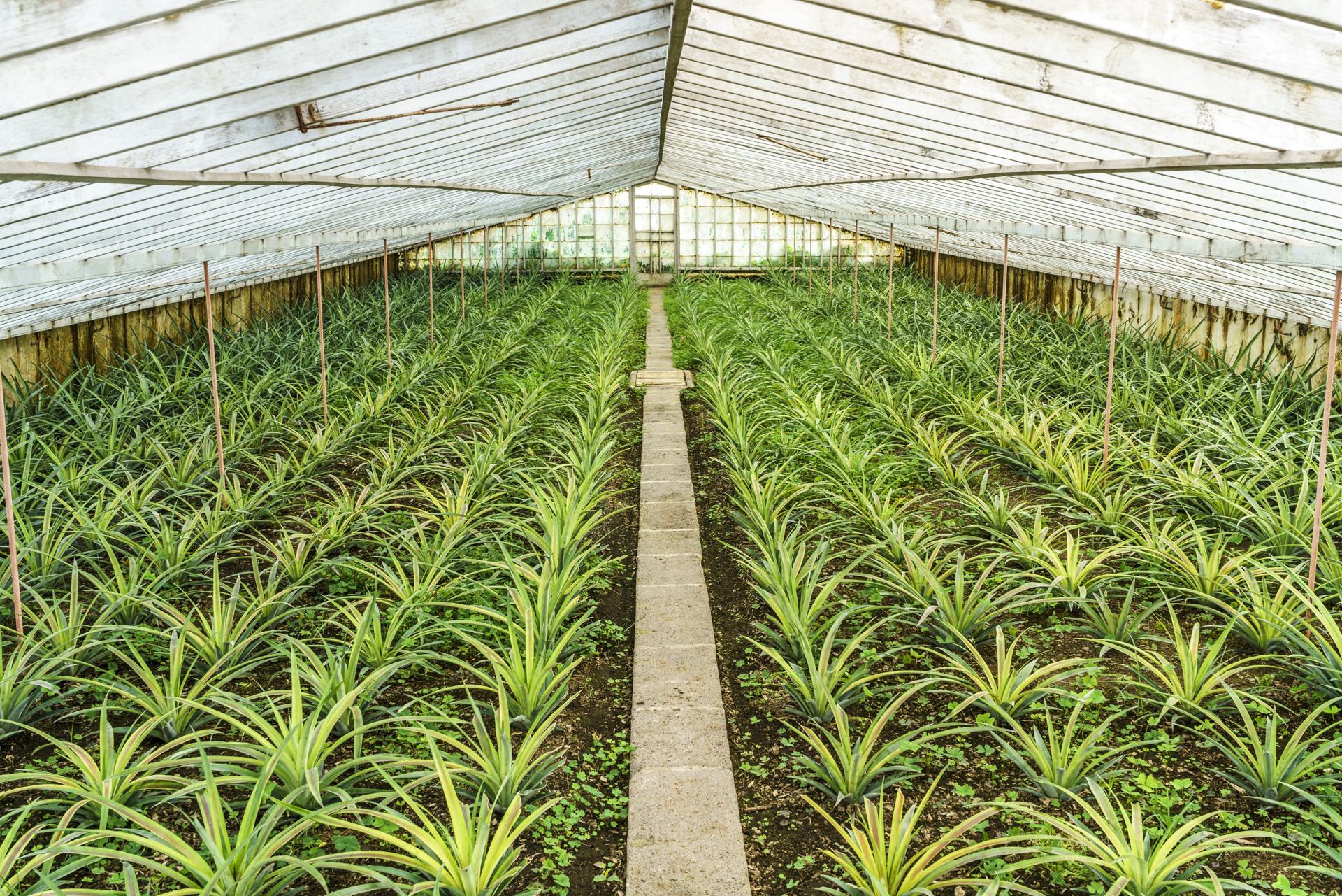 Ananases A Arruda