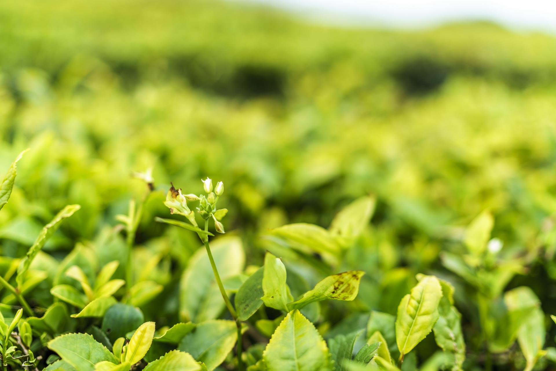 Teeplante Sao Miguel