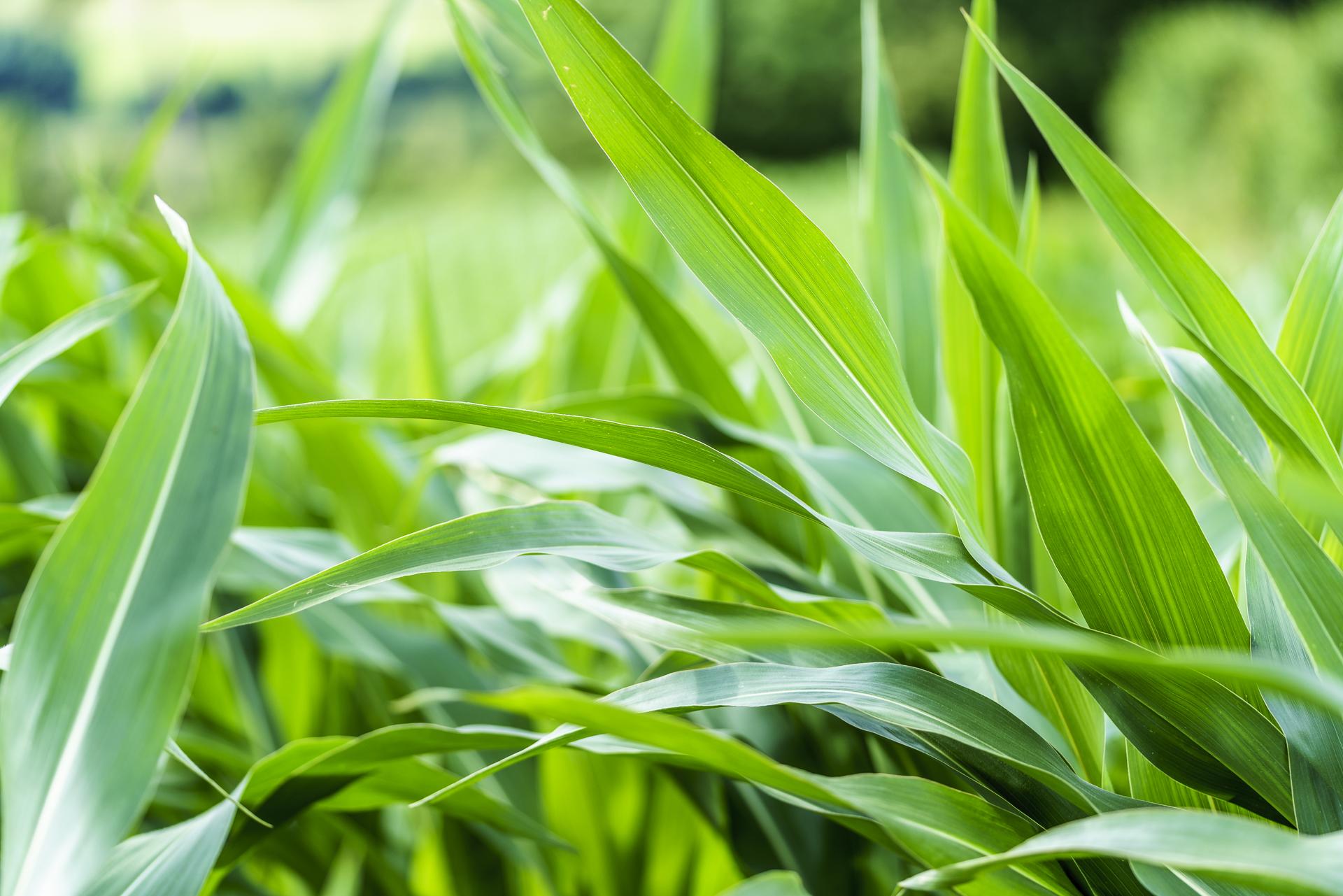 Detailaufnahme Mais