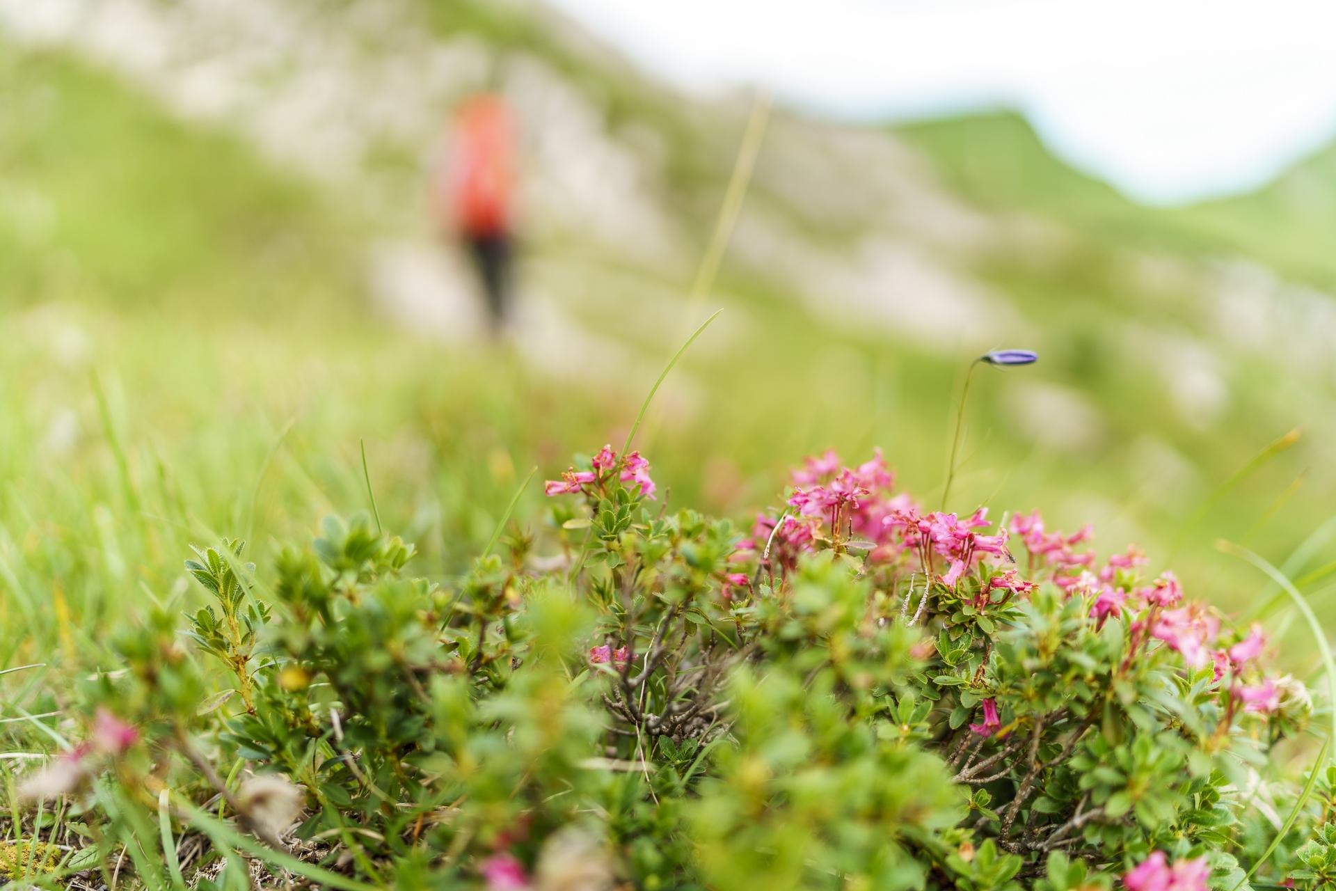 Alpenrosen Tannheimertal
