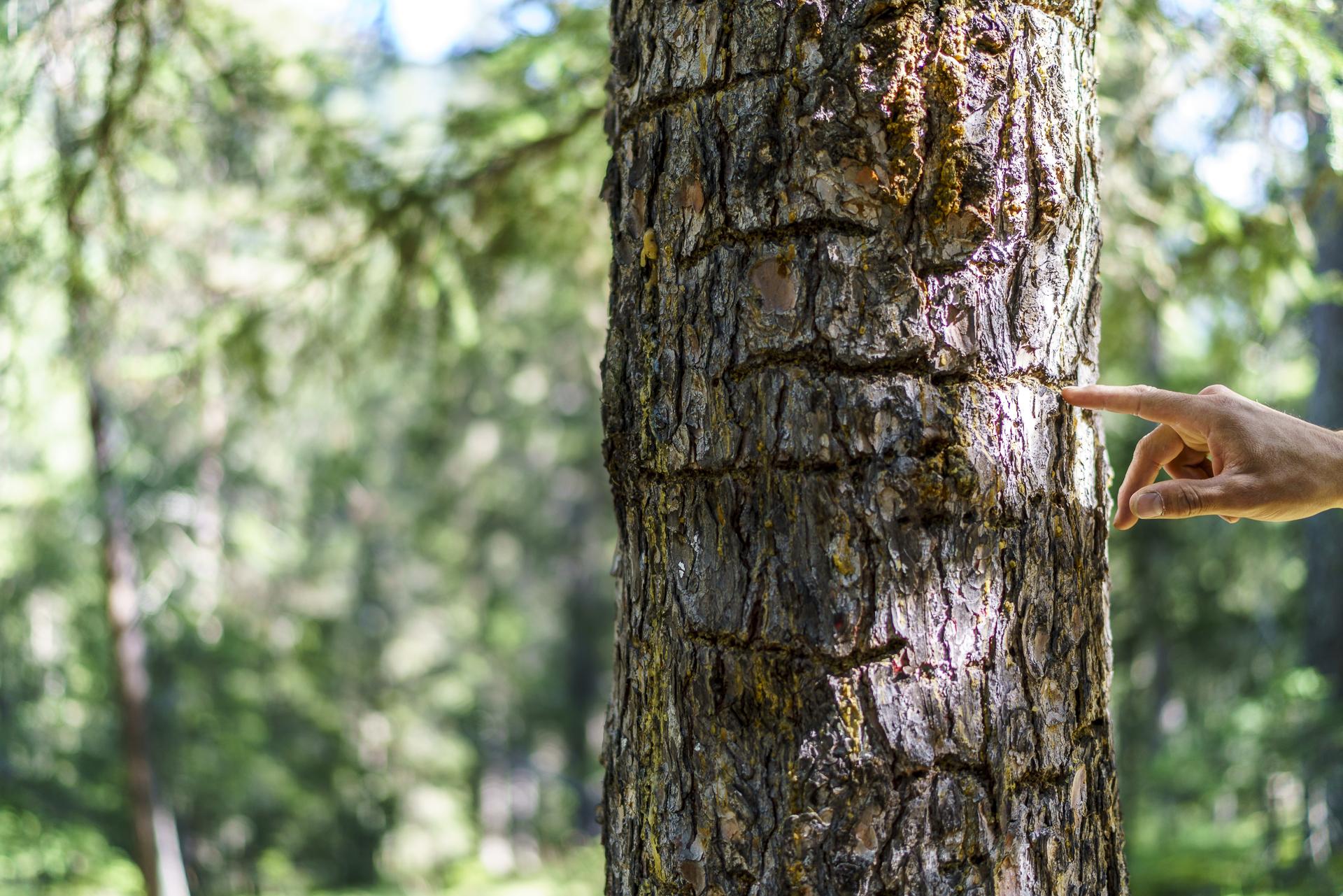 Spechtspuren am Baum