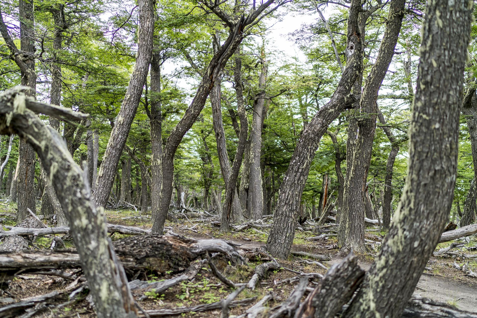 Patagonische Wälder