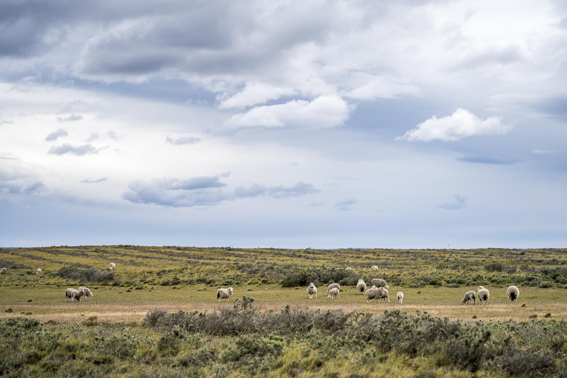 Patagonien Schafe