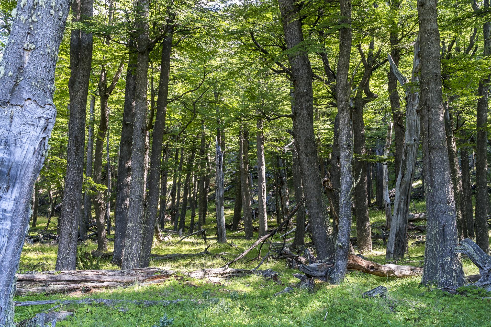 Südbuchenwald Patagonien