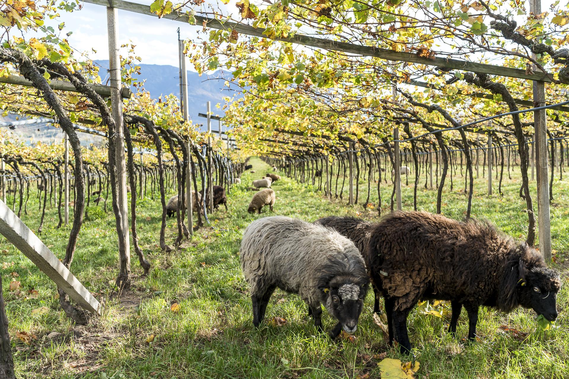 Biodynamisches Weingut Manicor Südtirol mit Schafen
