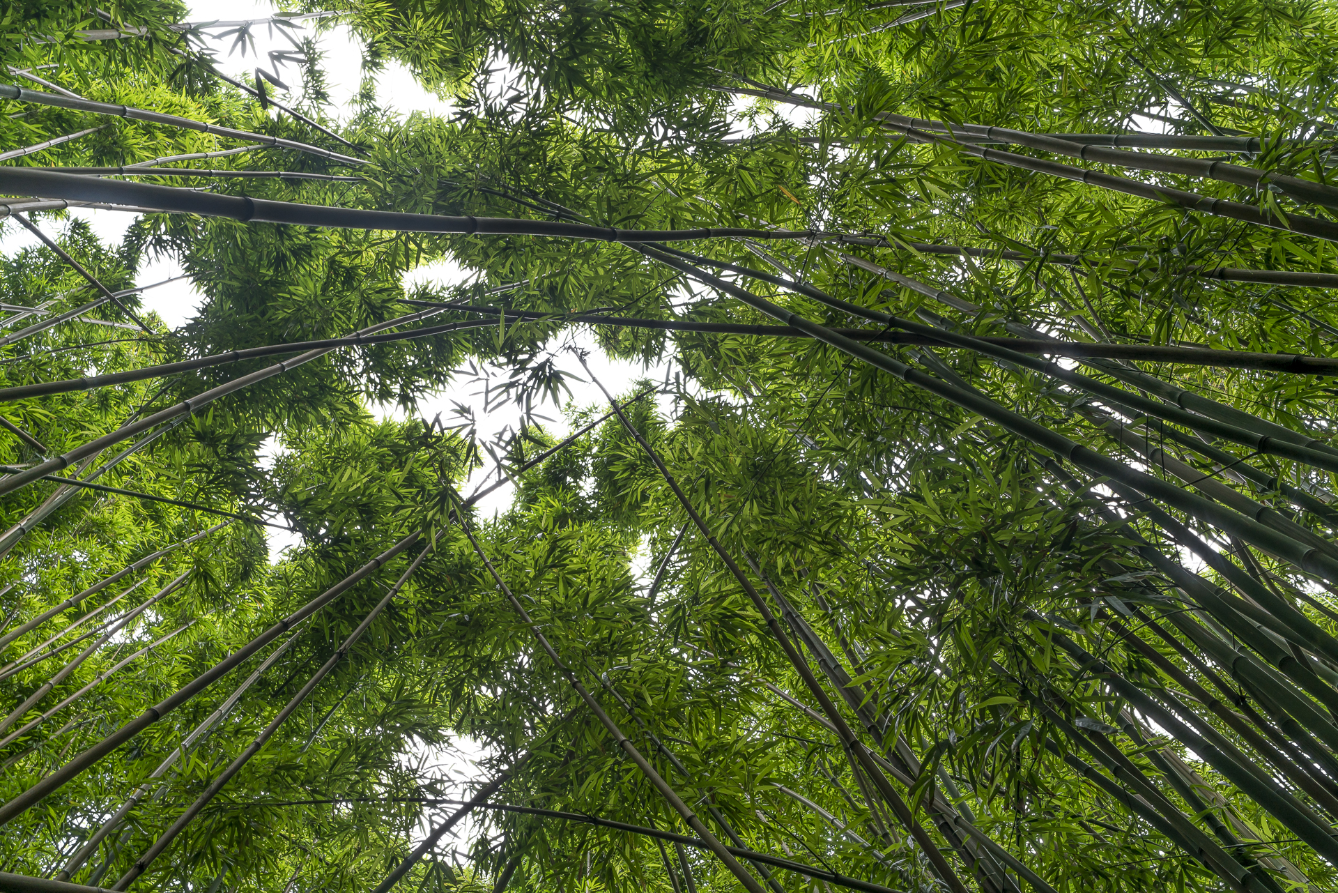 Bambuswald Maui Hawaii