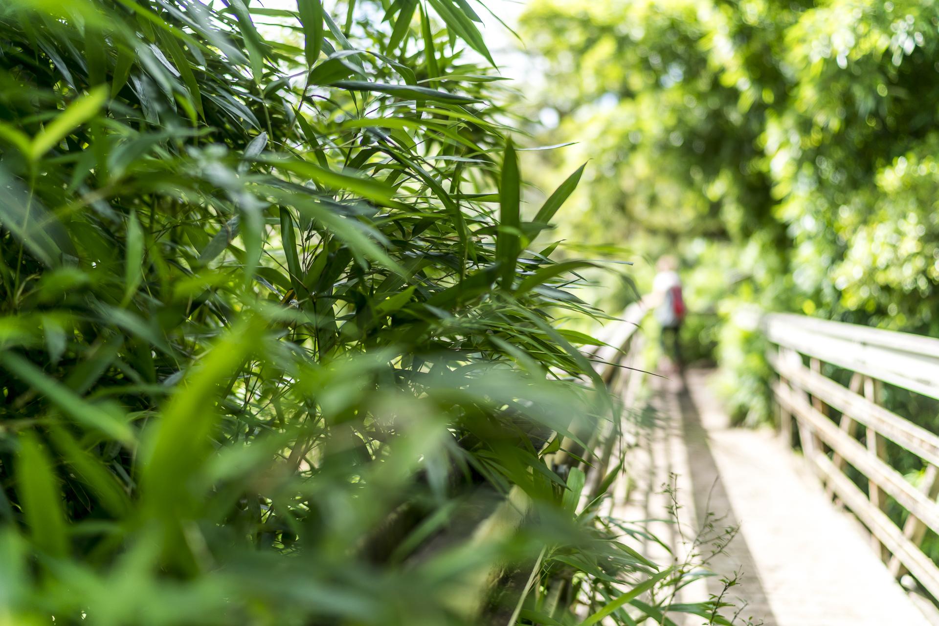Hana Forest Reserve Bambus