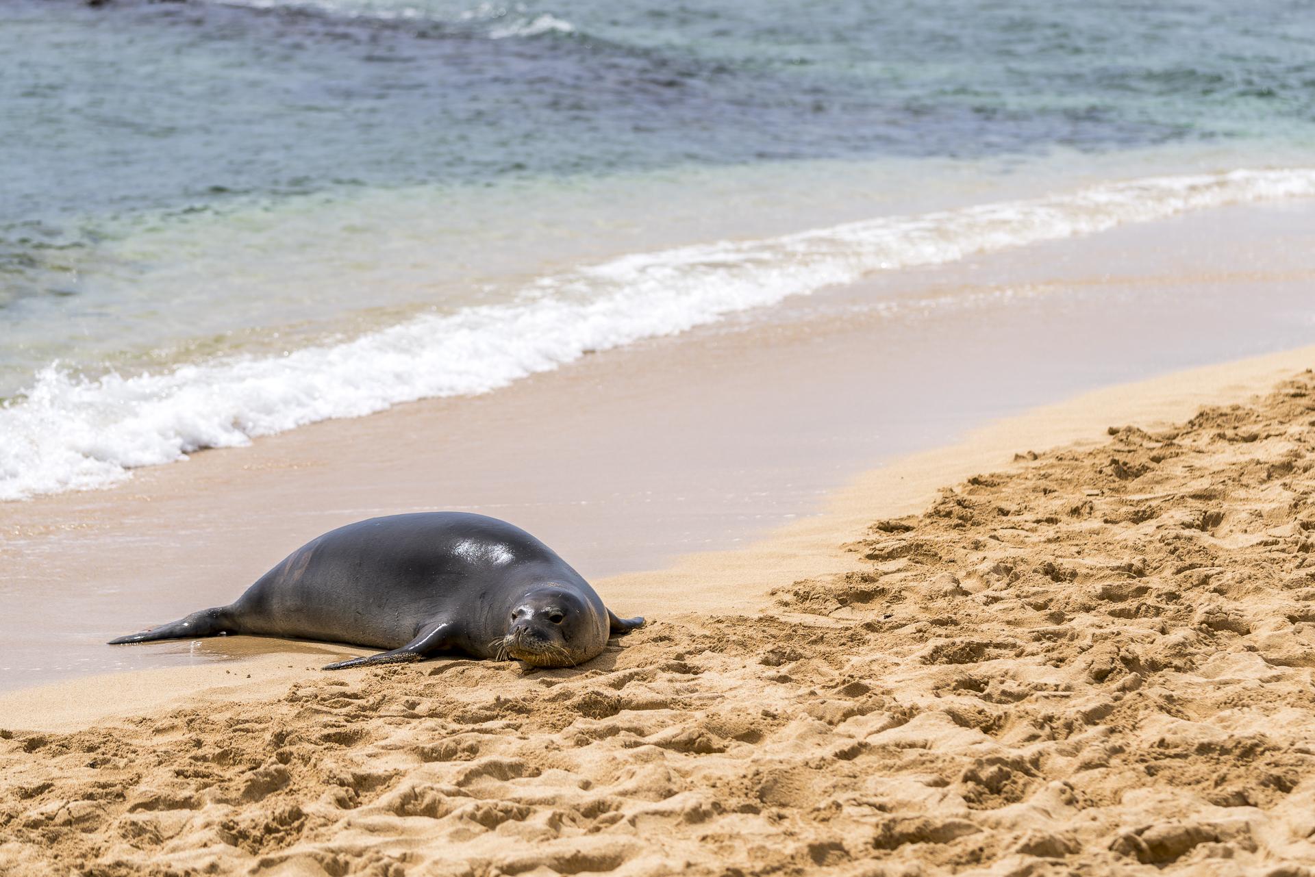 Kauai Seehund