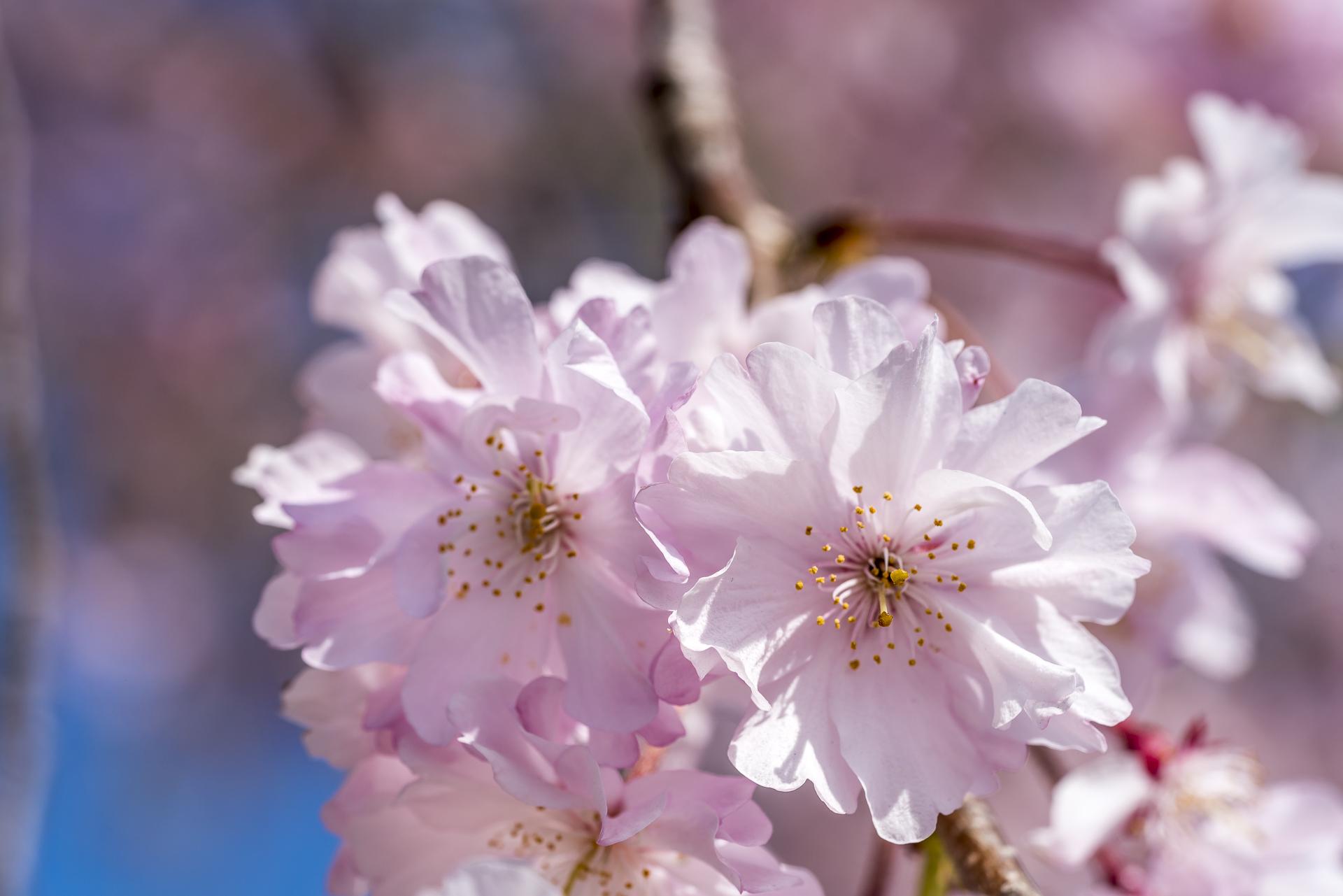 Kirschblüten Detailaufnahme