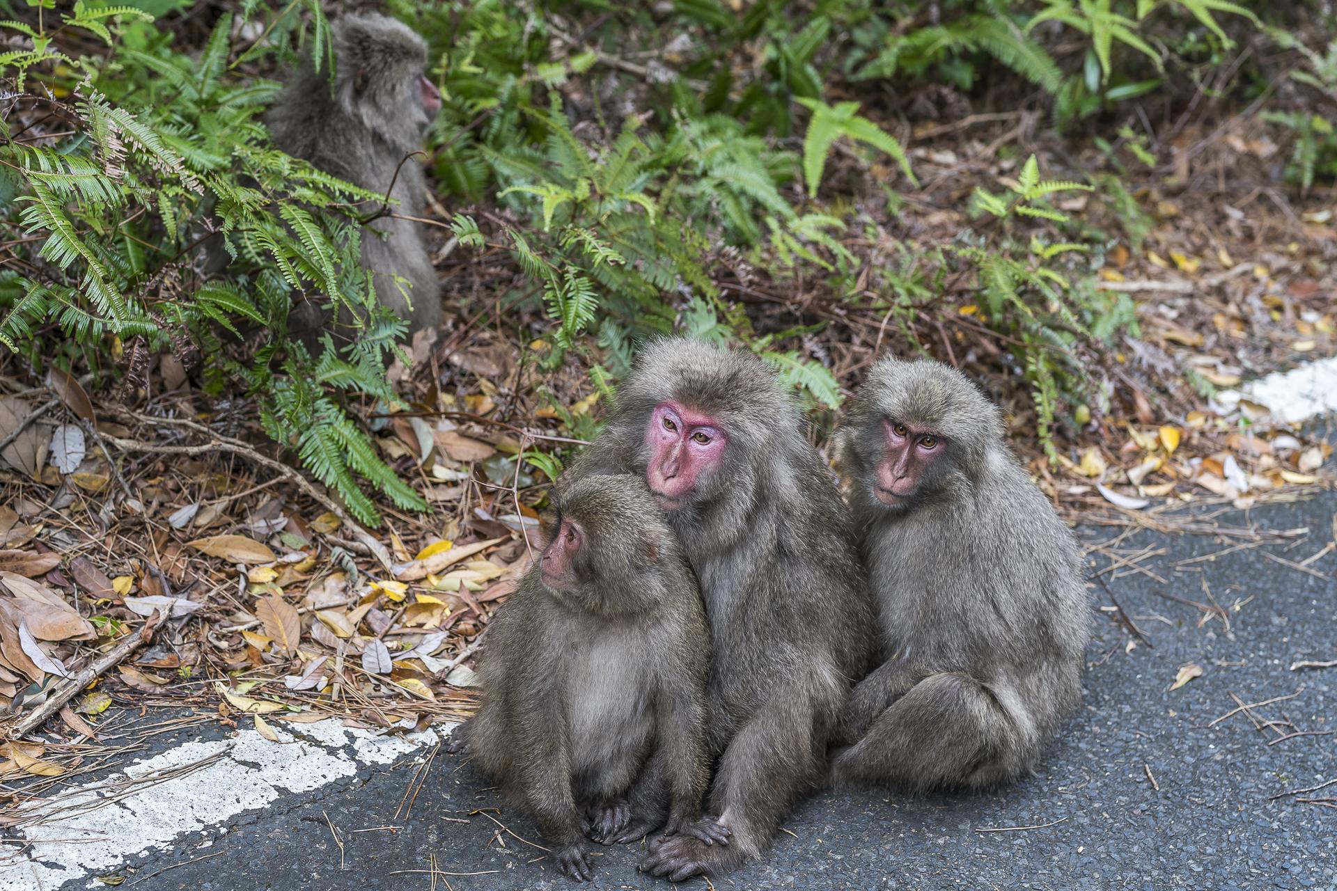 Affen auf Yakushima