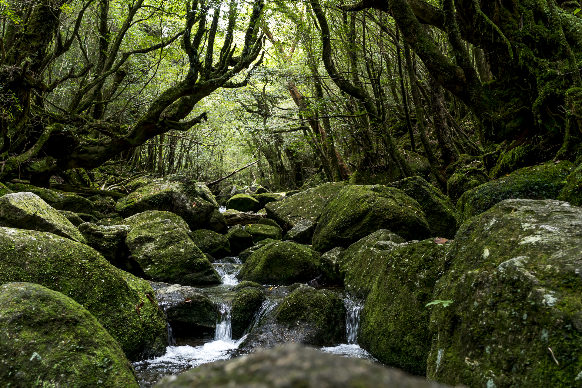 Yakushima Moss covered Forest