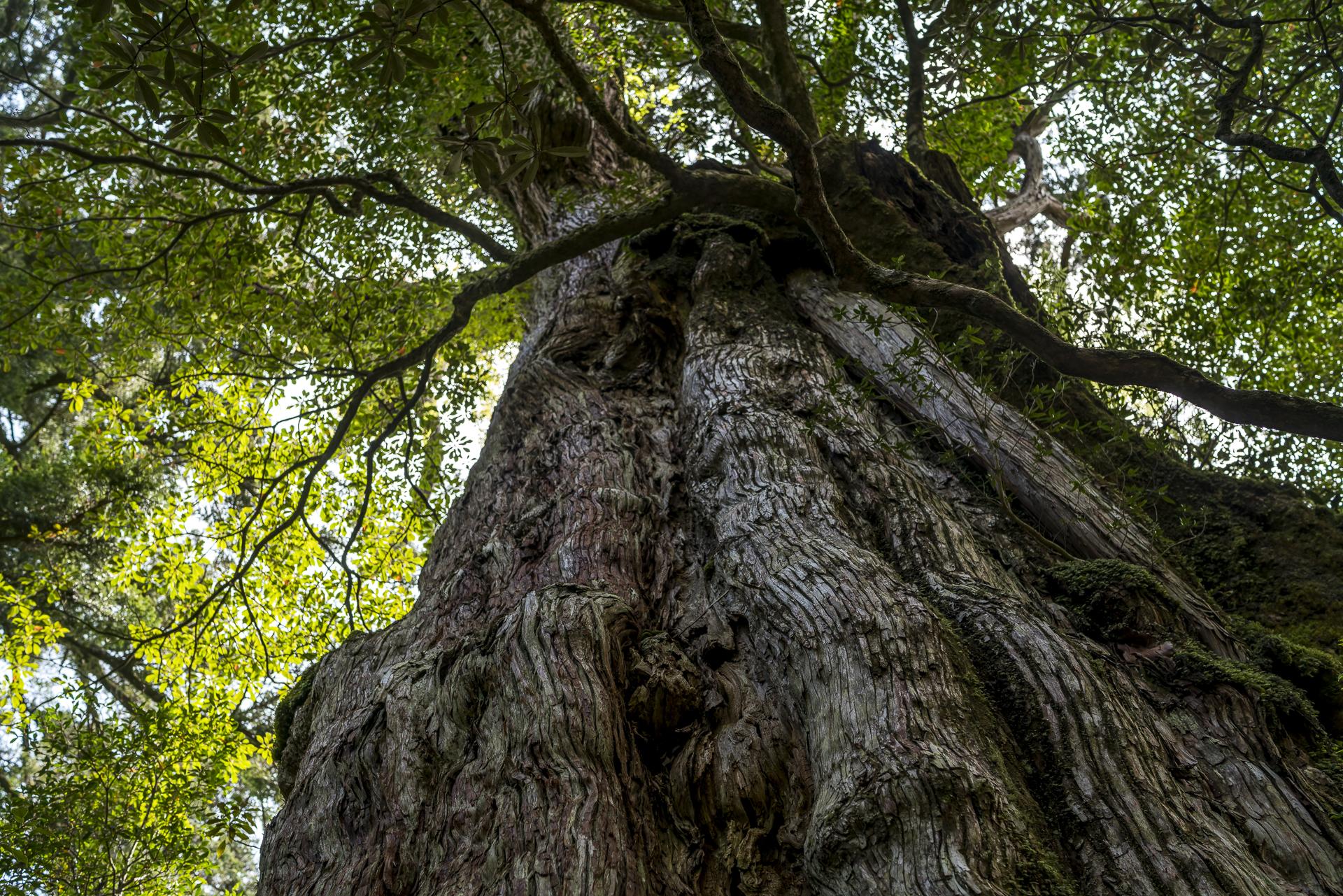 Yakushima Zedernbaum
