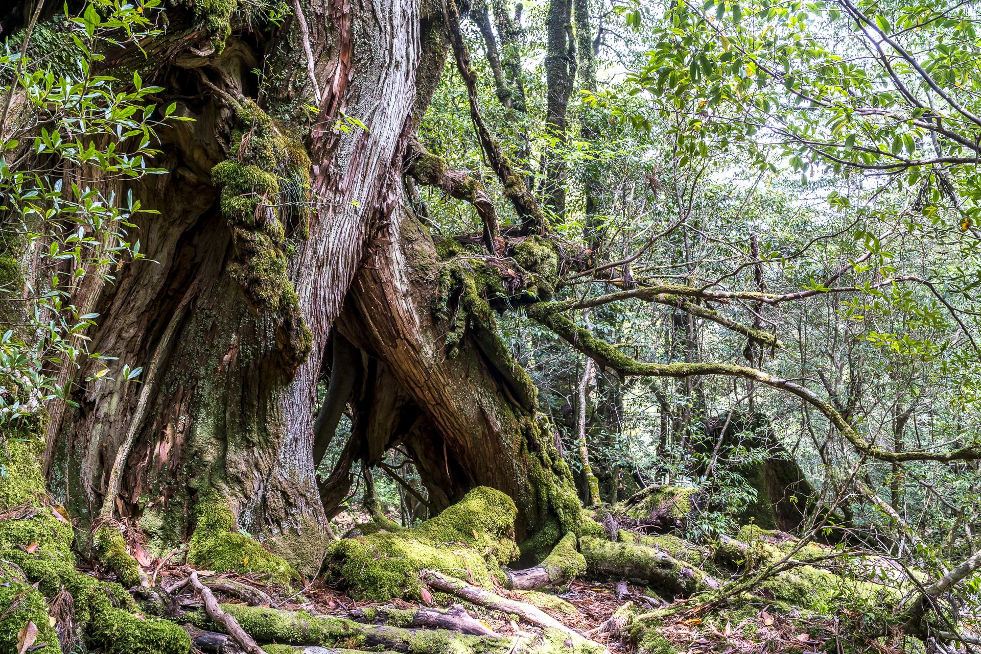 Zedernwald Yakushima