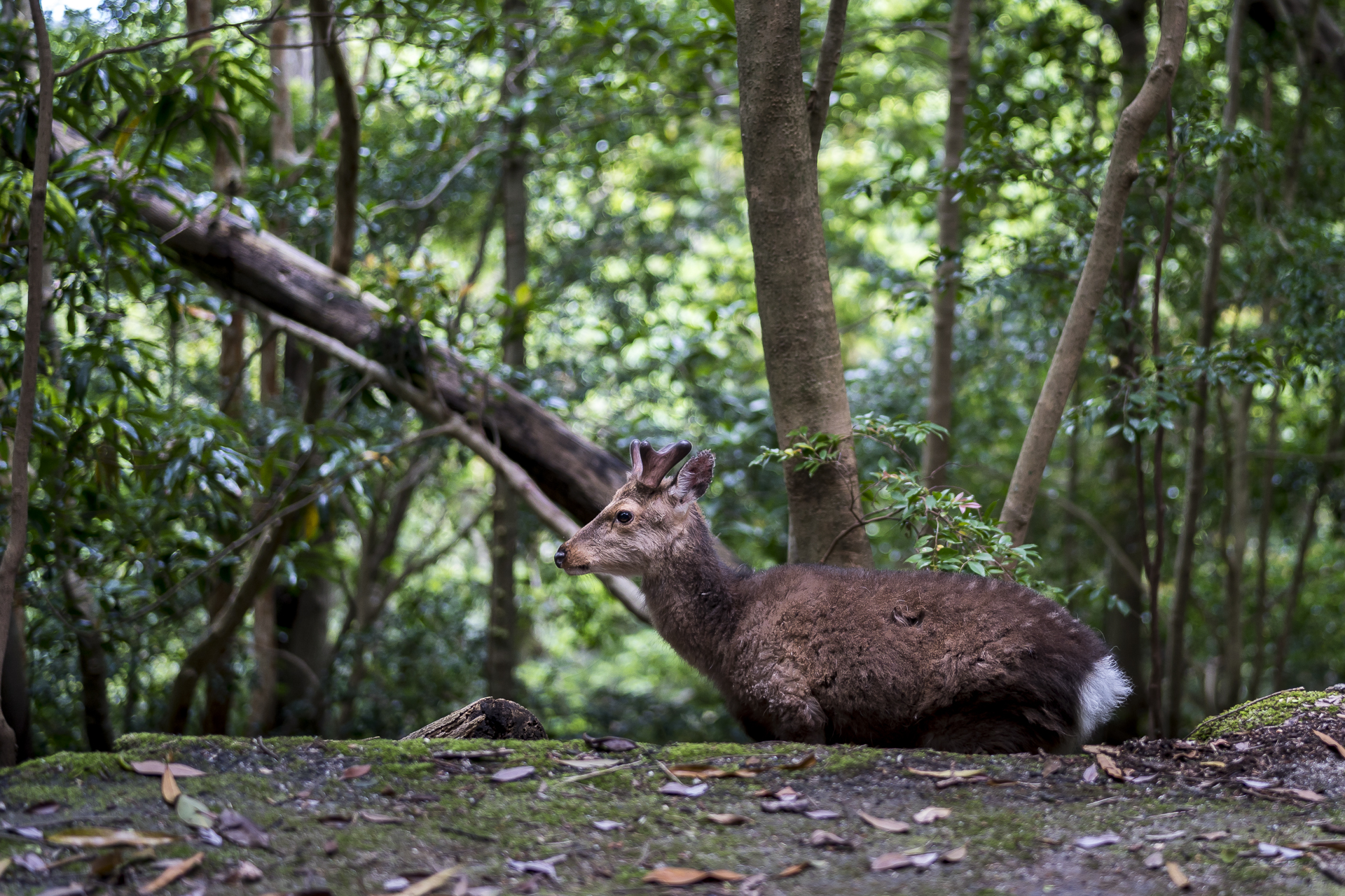 Hirsch auf Yakushima