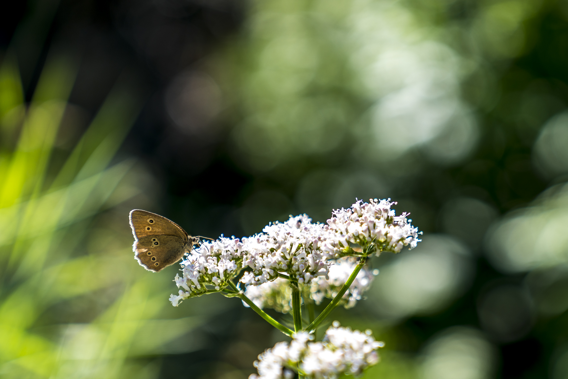 Schmetterlin auf Blume