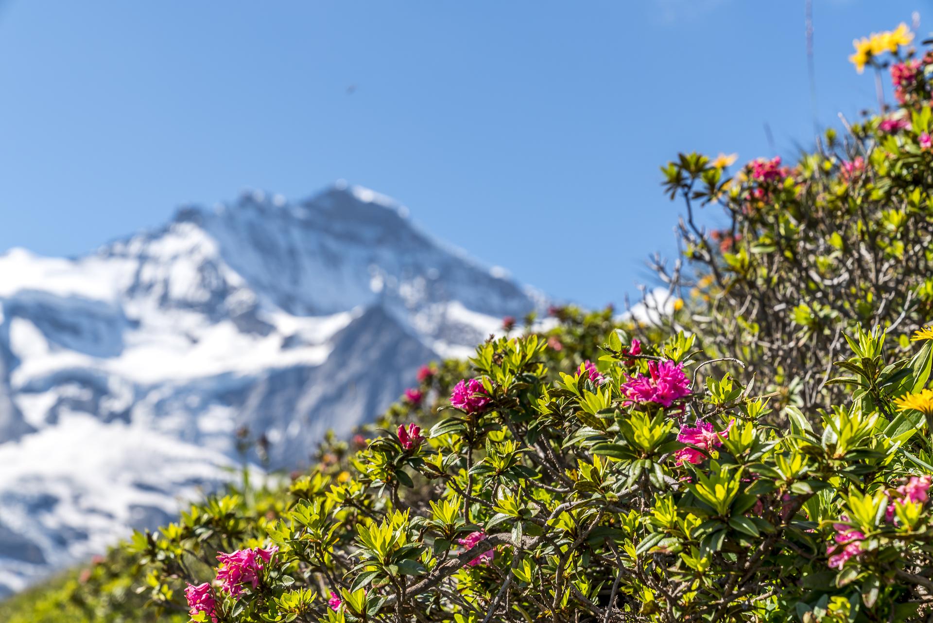 Alpenrose Jungfrau