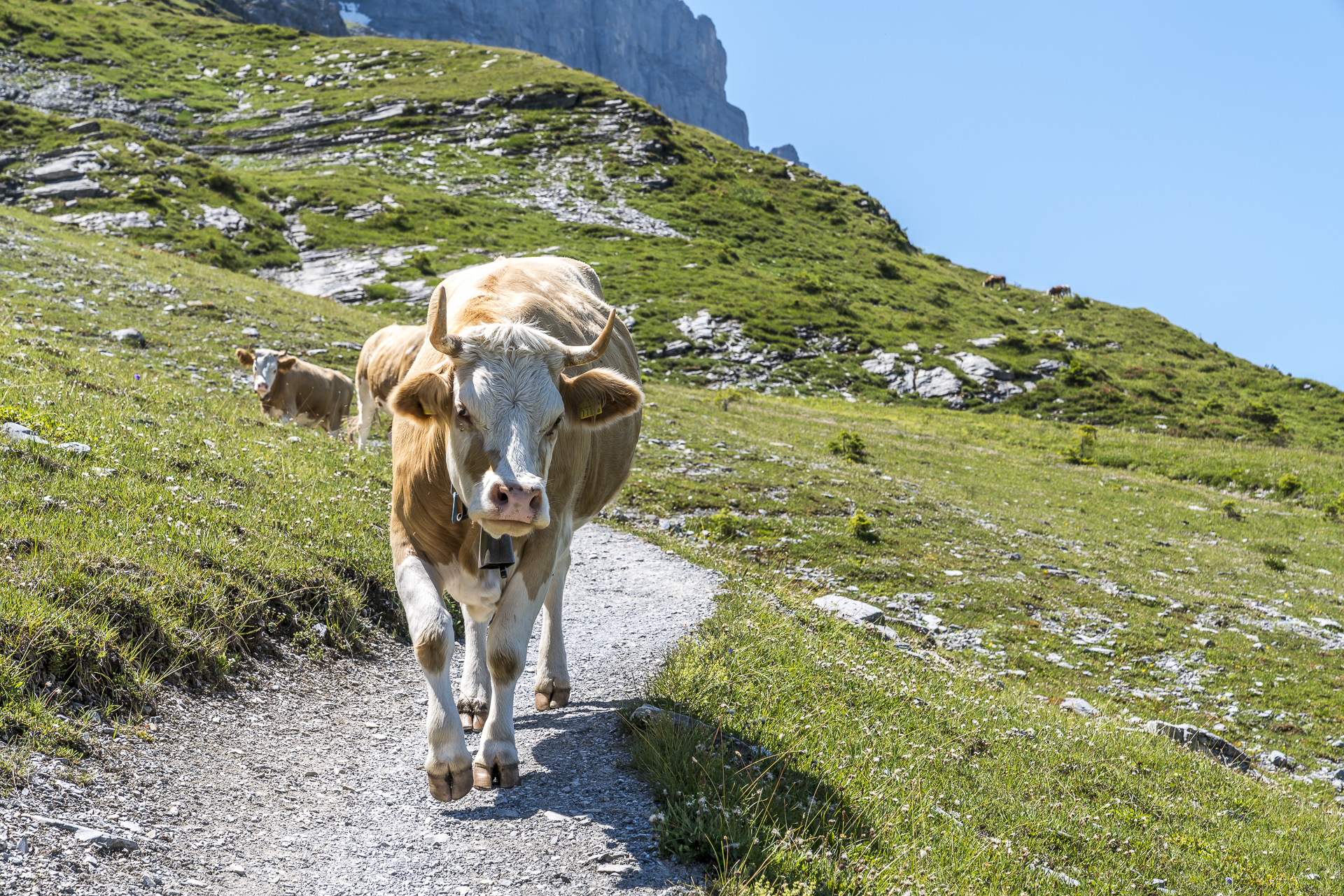 Alpweiden in Grindelwald
