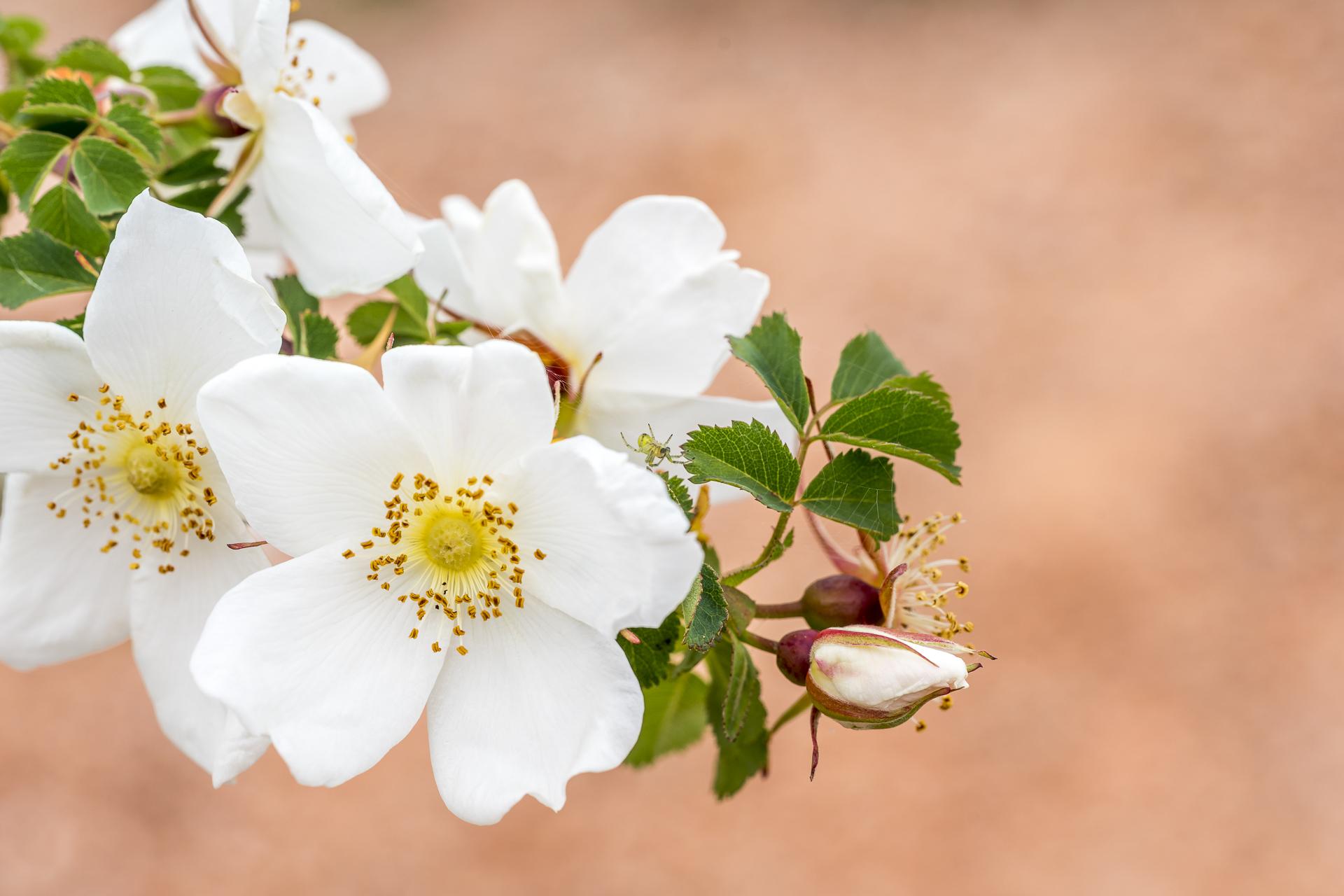 Blüten in Kirgistan