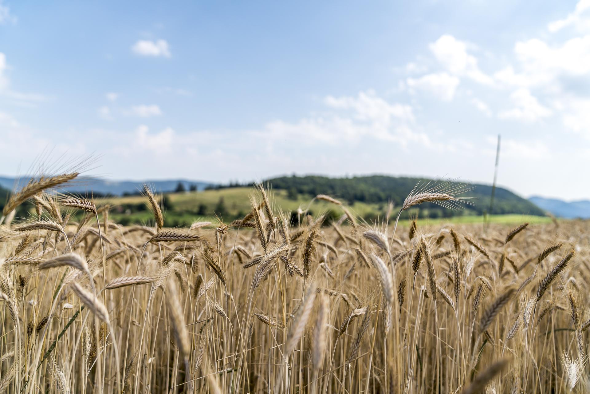 Kornfelder im Jura Rebeuvelier