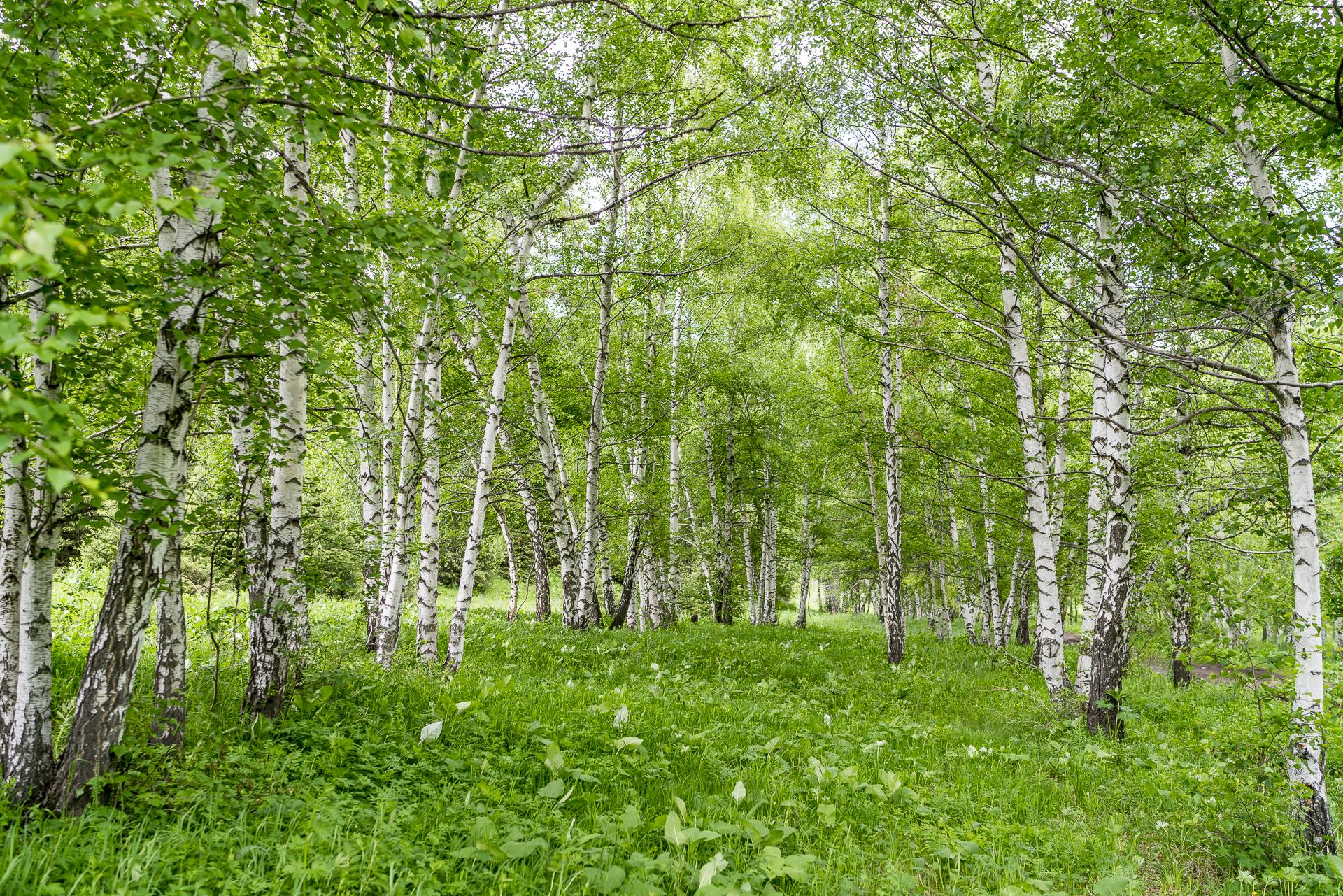 Birkenwald in Kasachstan