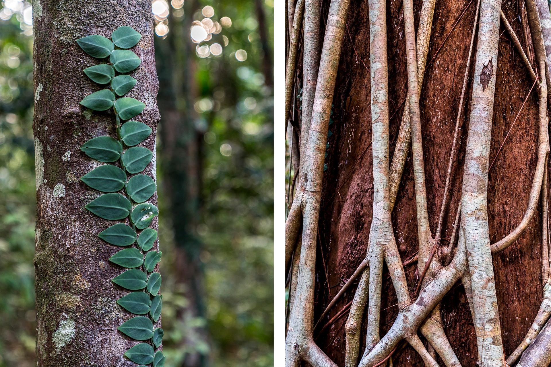 Detailaufnahme Deintree Bäume