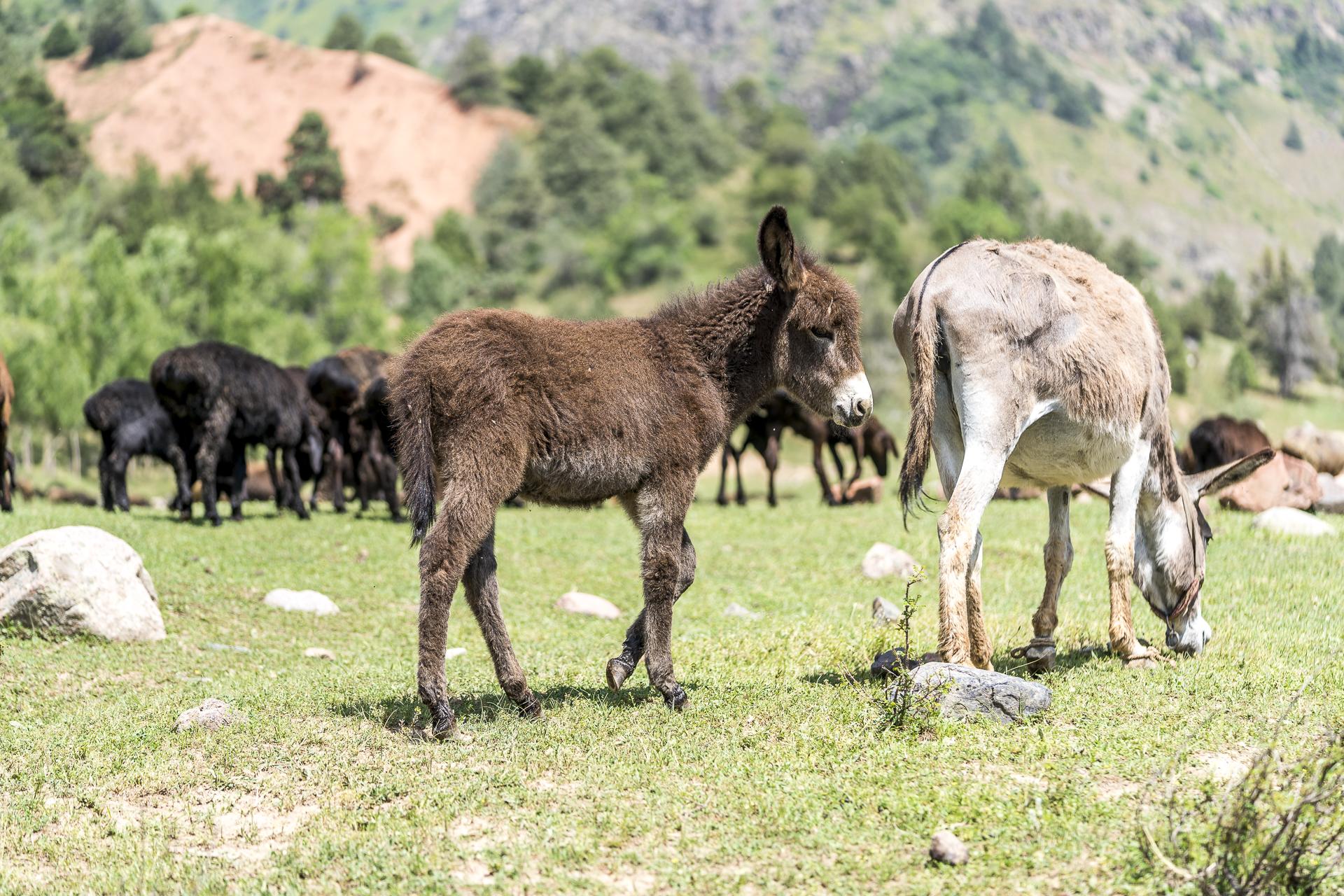 Esel und Schafherde Chimgan