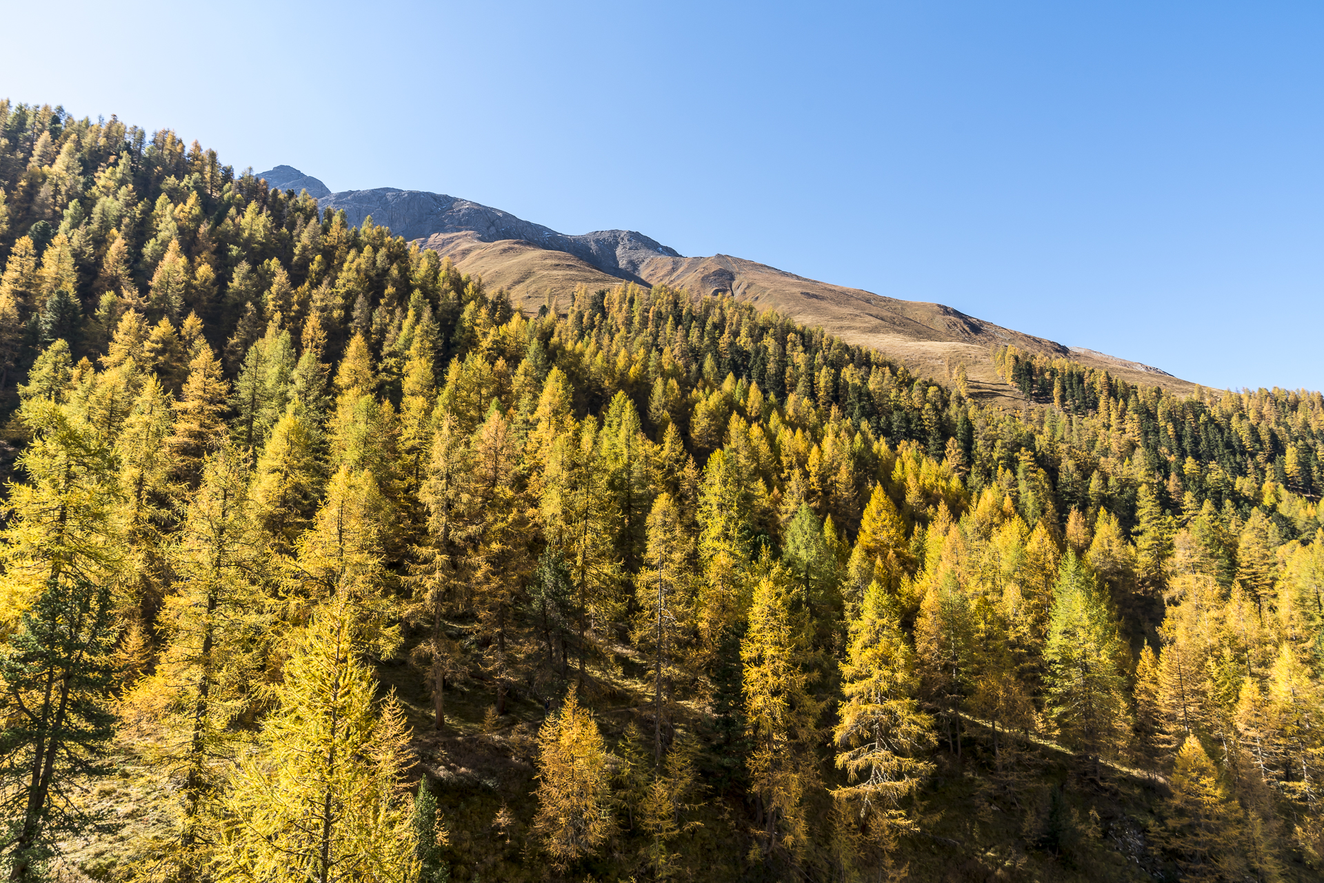 Lärchen im Val Trupchun