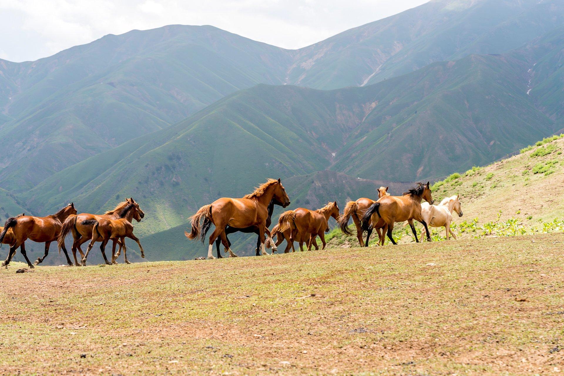 Pferdeherde Mirzbay Pass