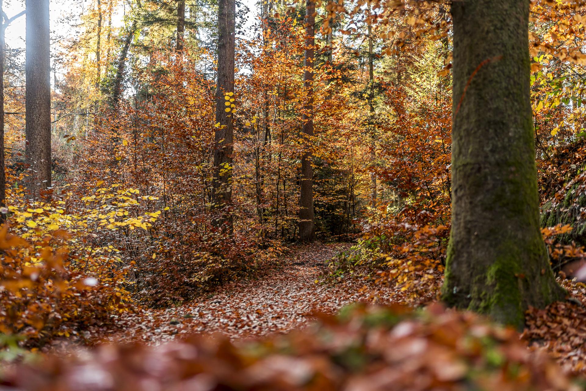 Fällanden Benglen Herbstwald