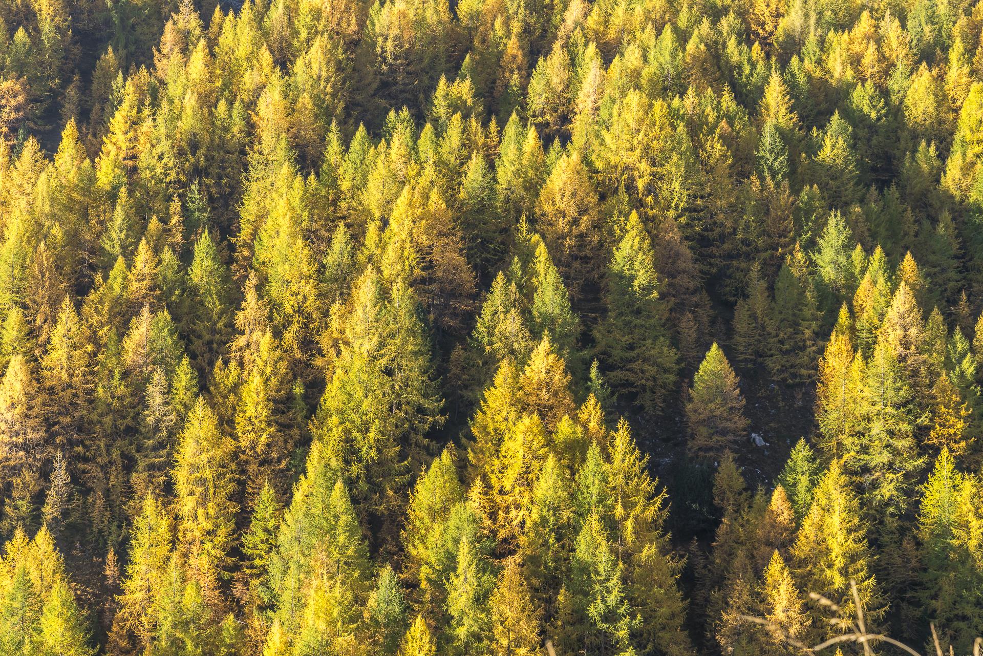 Herbstlärchenwald Engadin