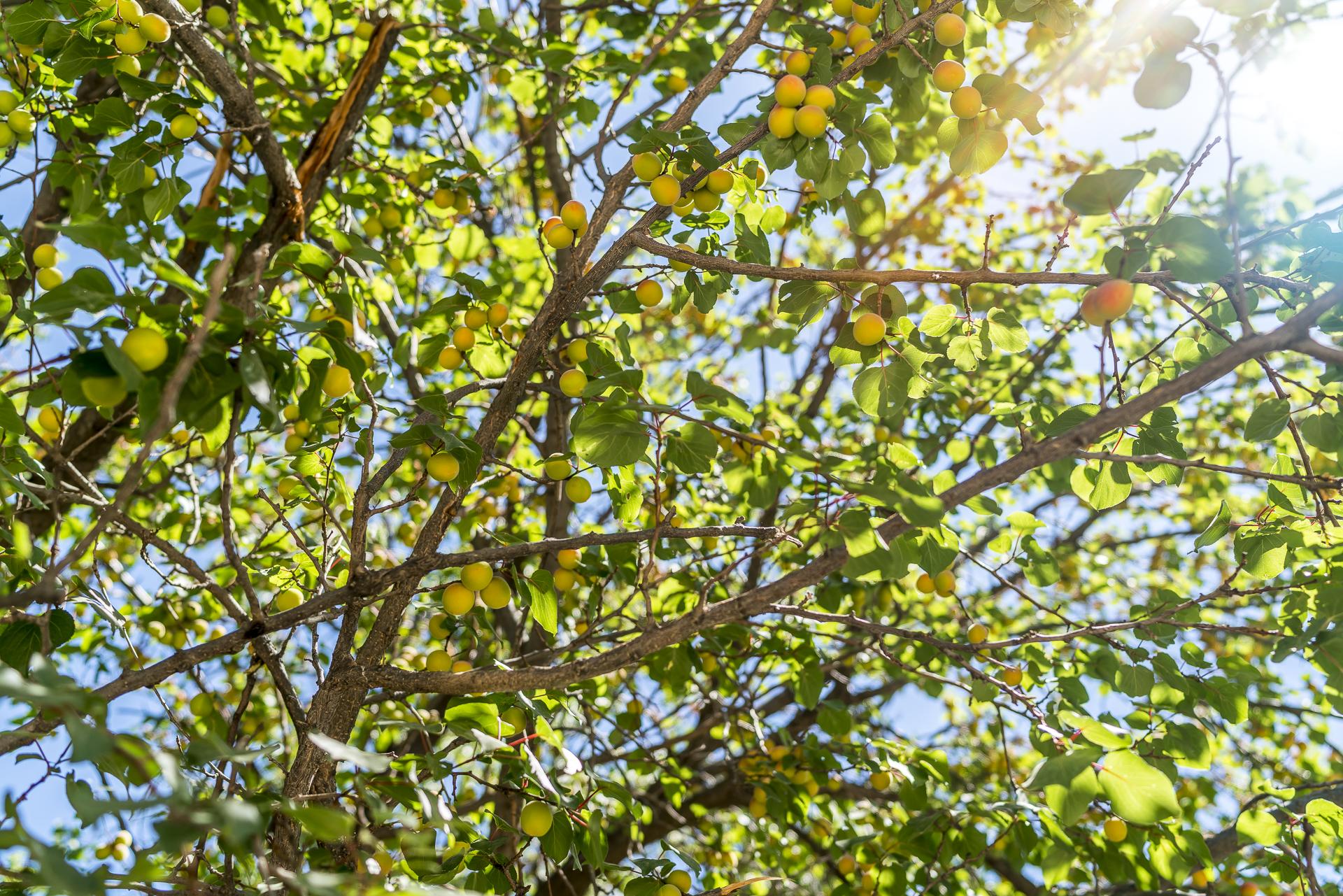 Orangenbaum Nuratau Gebirge