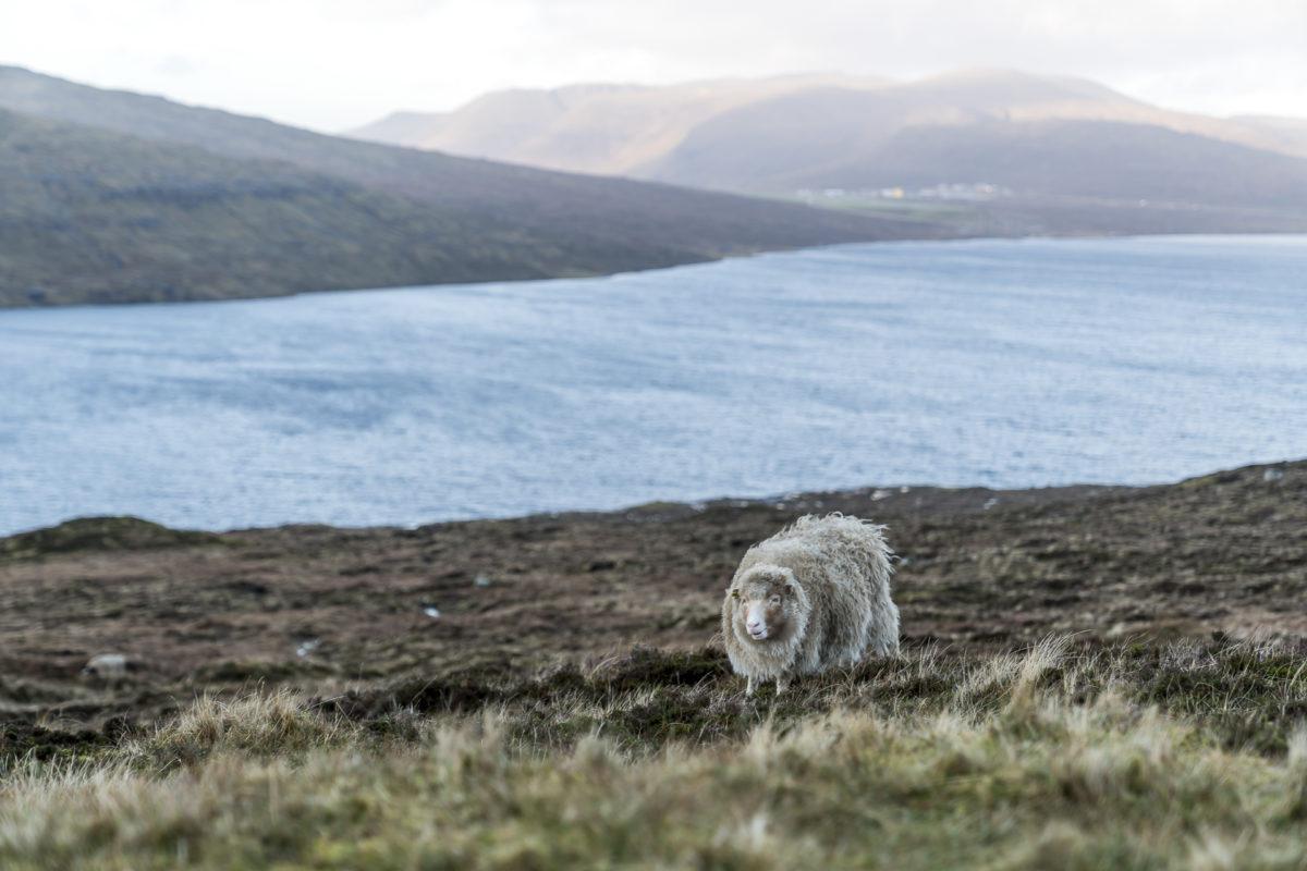 Schafe auf den Färöer