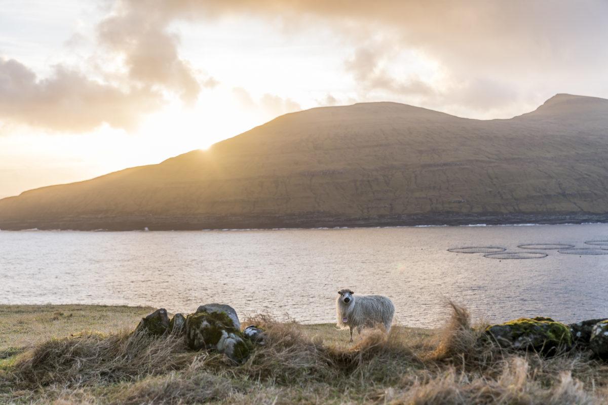 Schafe Färöer-Inseln