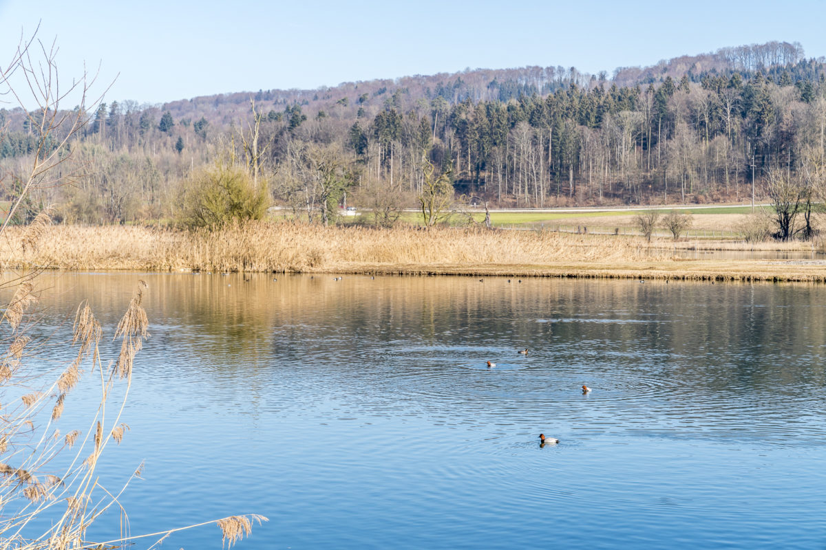 Vogelbeobachtung am Flachsee
